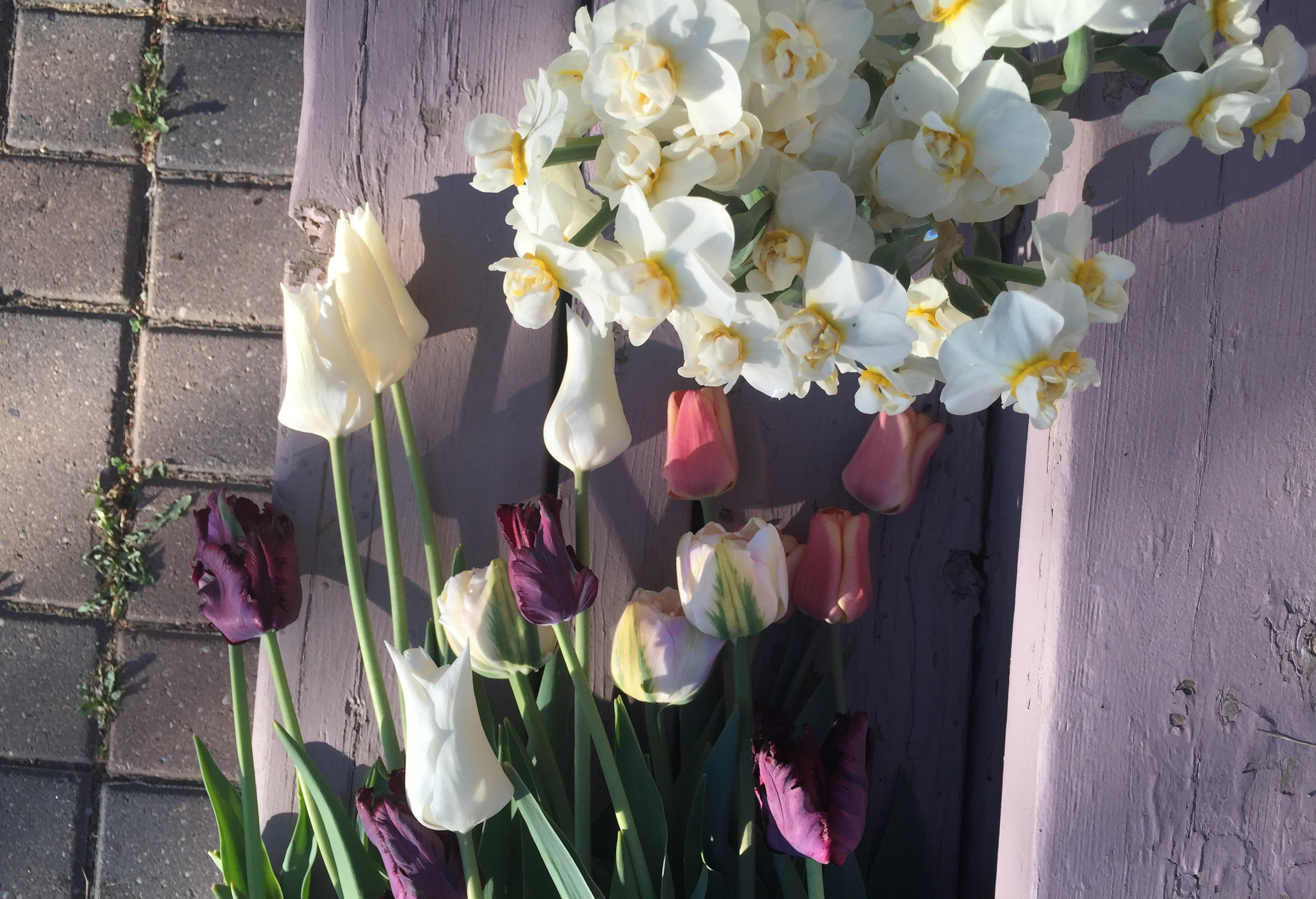 Early morning harvest of 'White Triumphator.' black parrot, 'Angelique' and 'Apricot Foxx' tulips along with 'Cheerfulness' daffodils