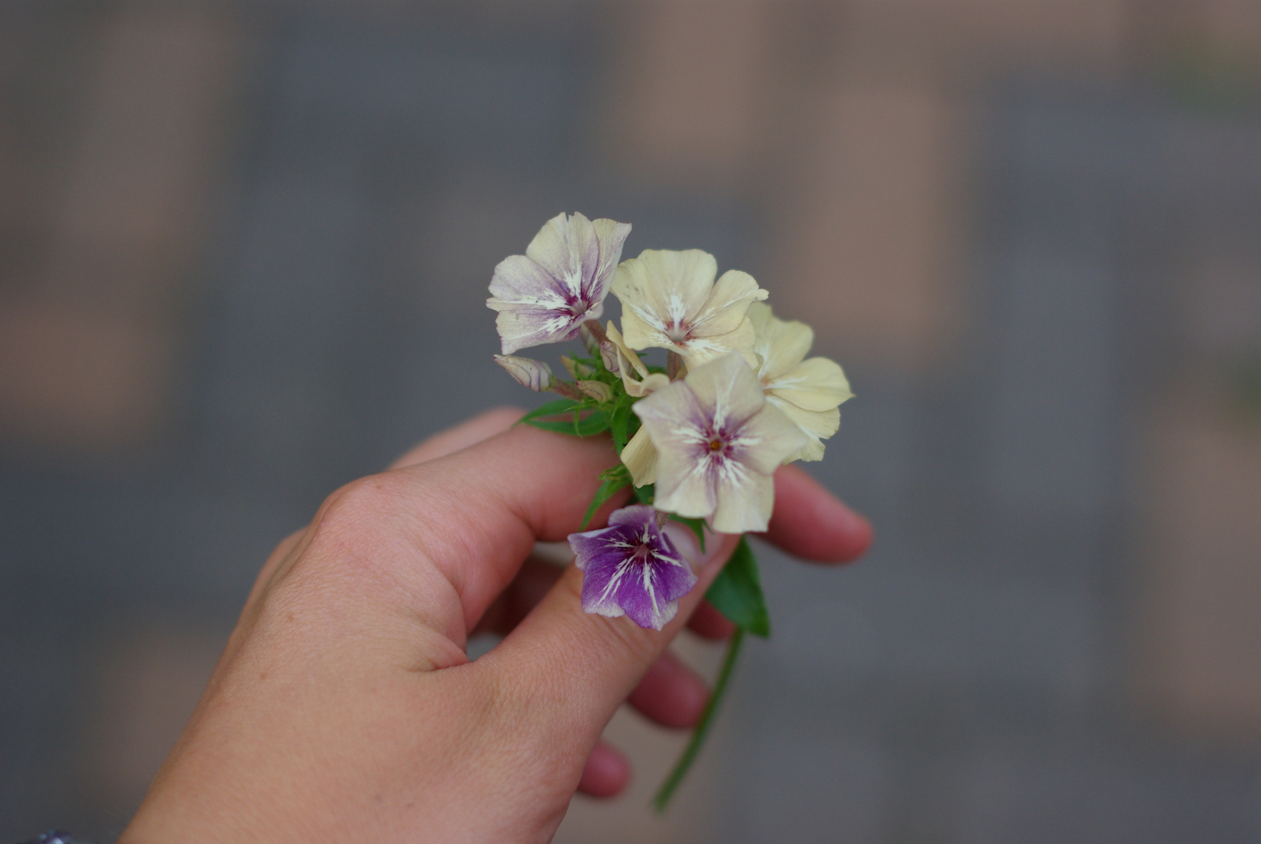 I am in LOVE with this phlox called 'Creme Brulee' which I grew from seed from Chiltern Seeds in the UK