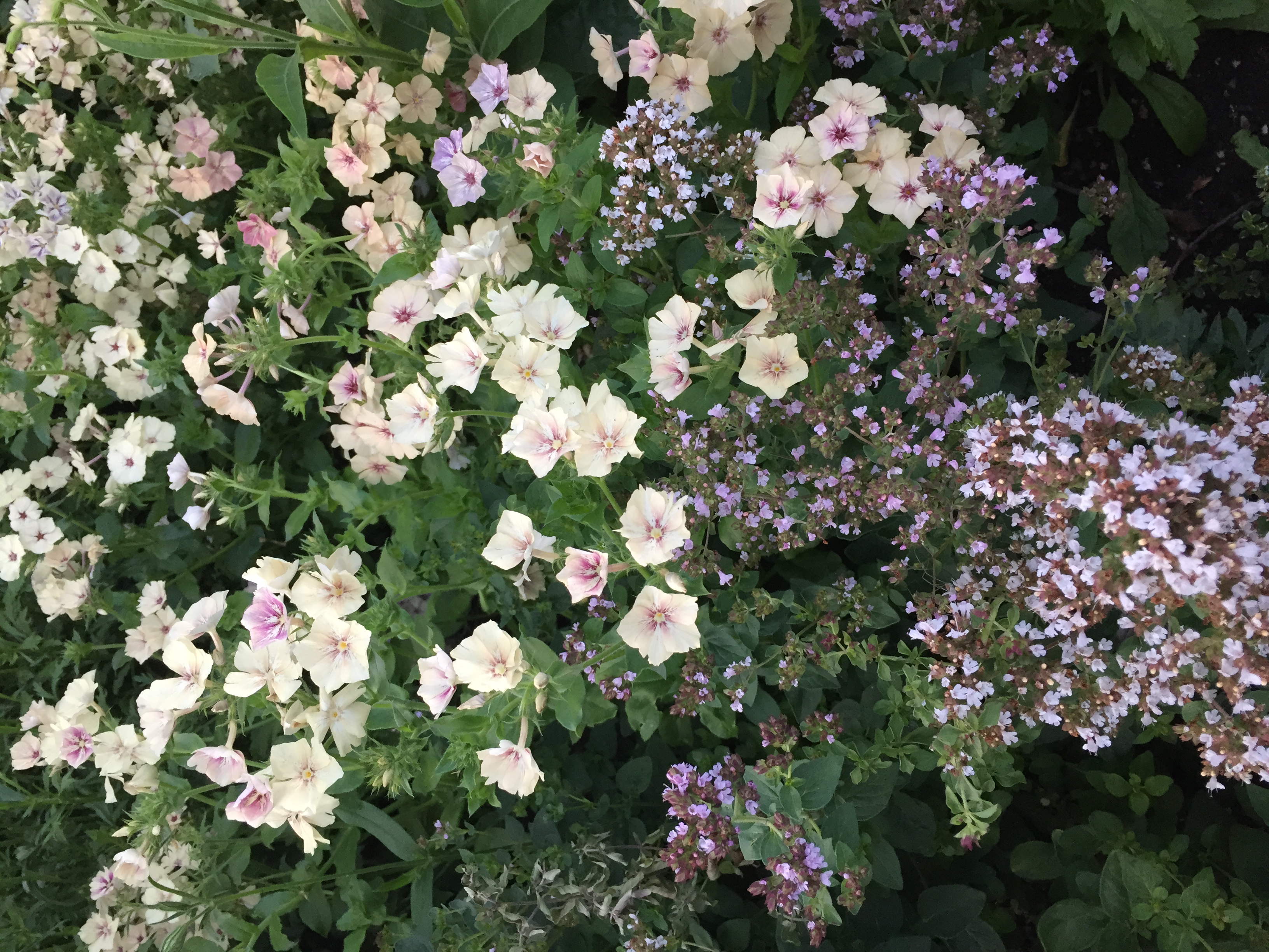 Phlox and oregano