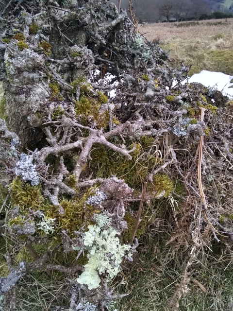 Lichen and branches, Wales