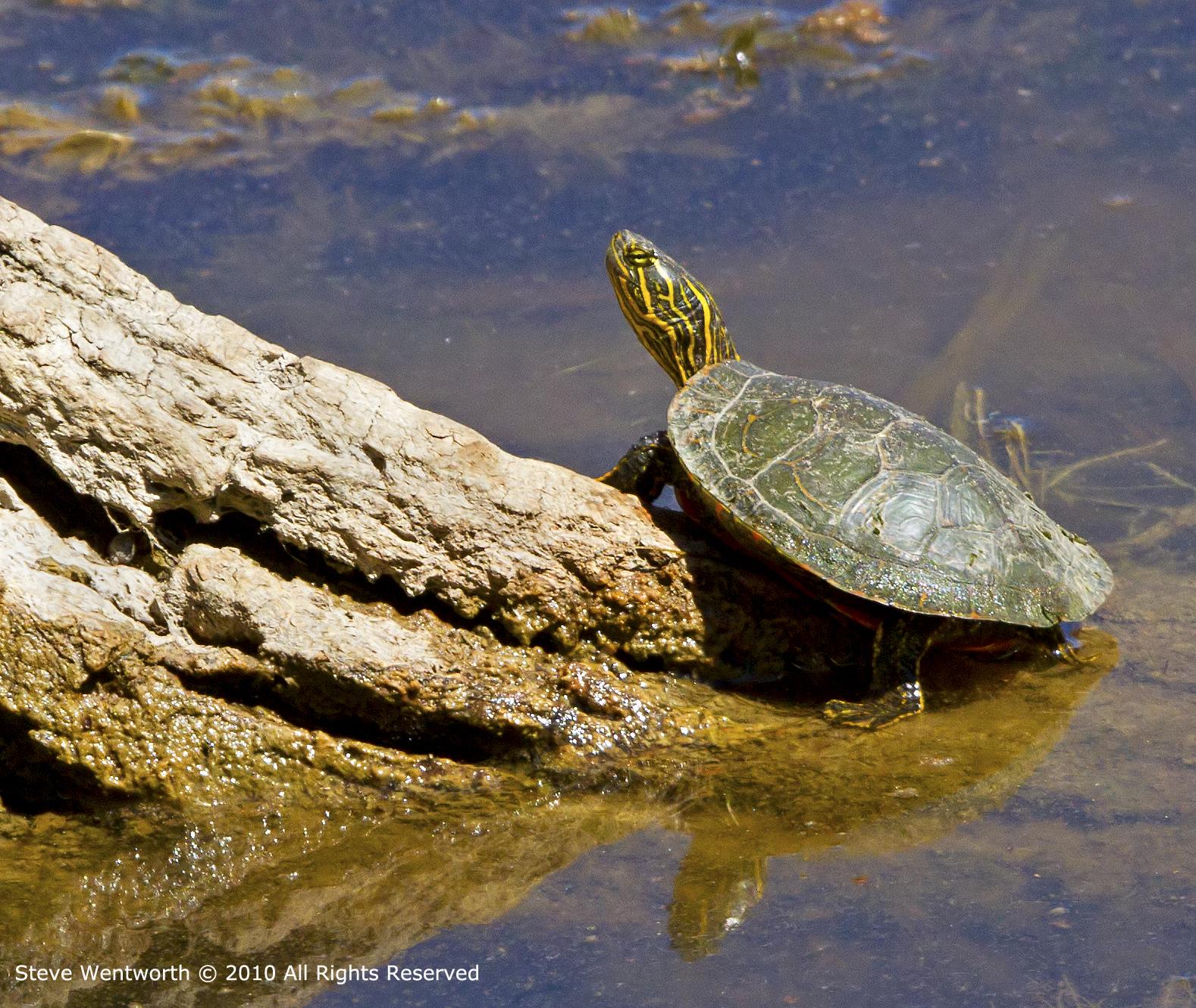5 - Turtle