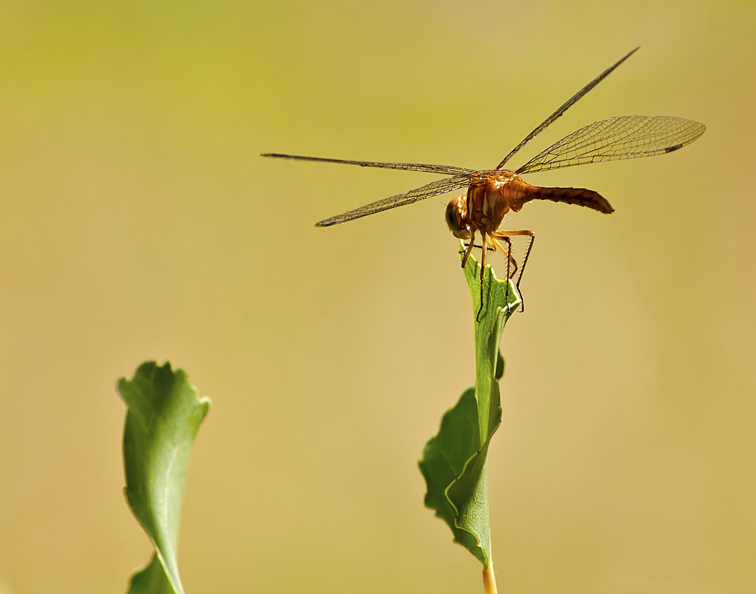 40 - Dragonfly