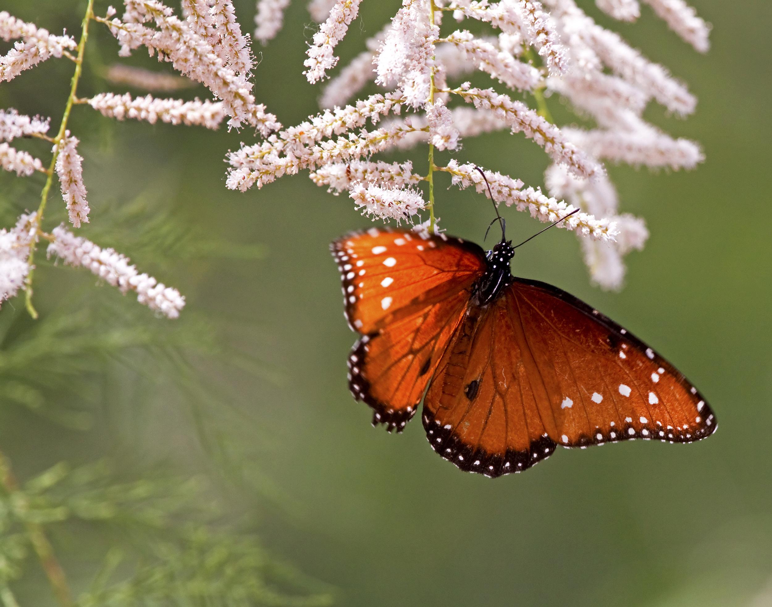 52 - Butterfly