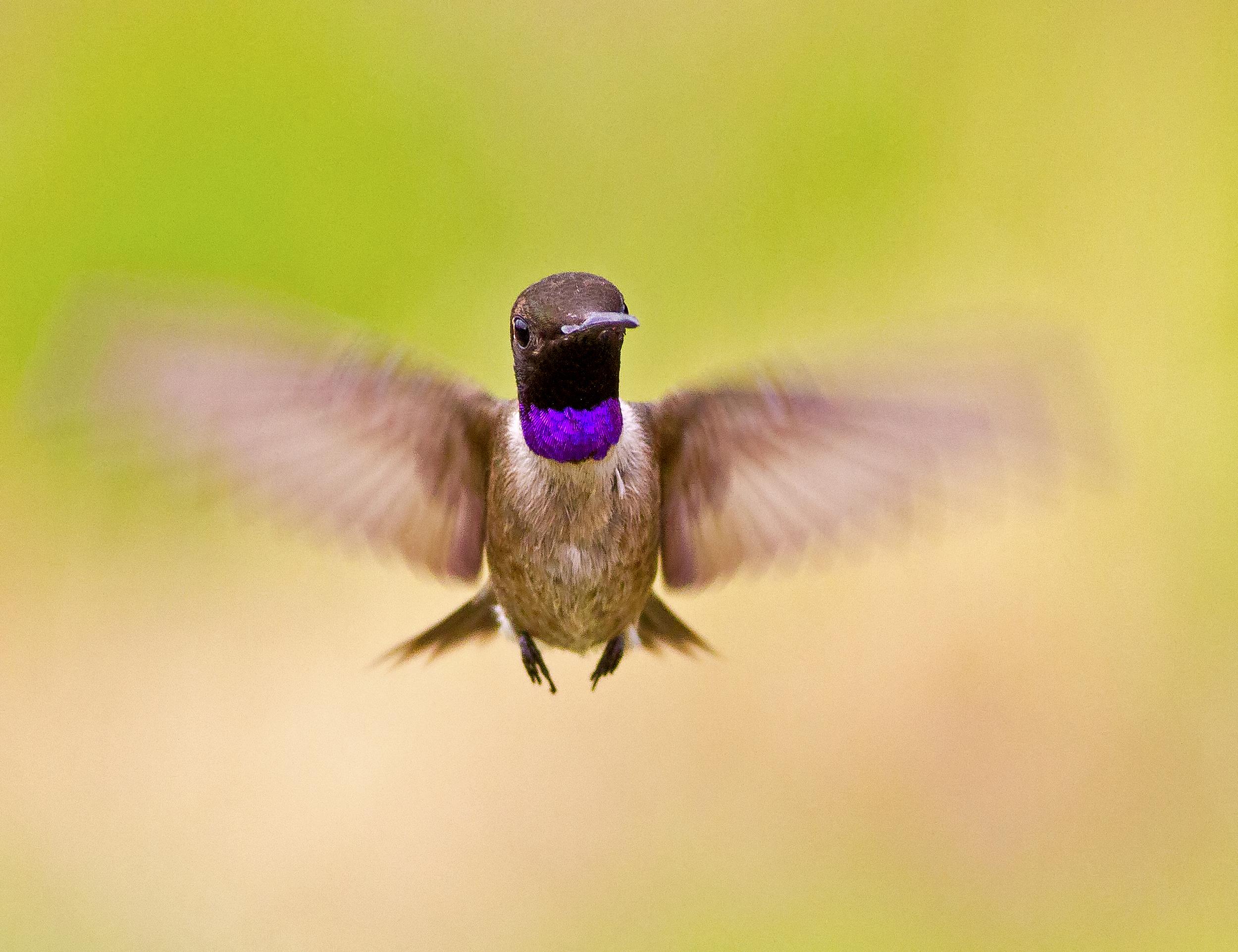 59 - Hummingbird