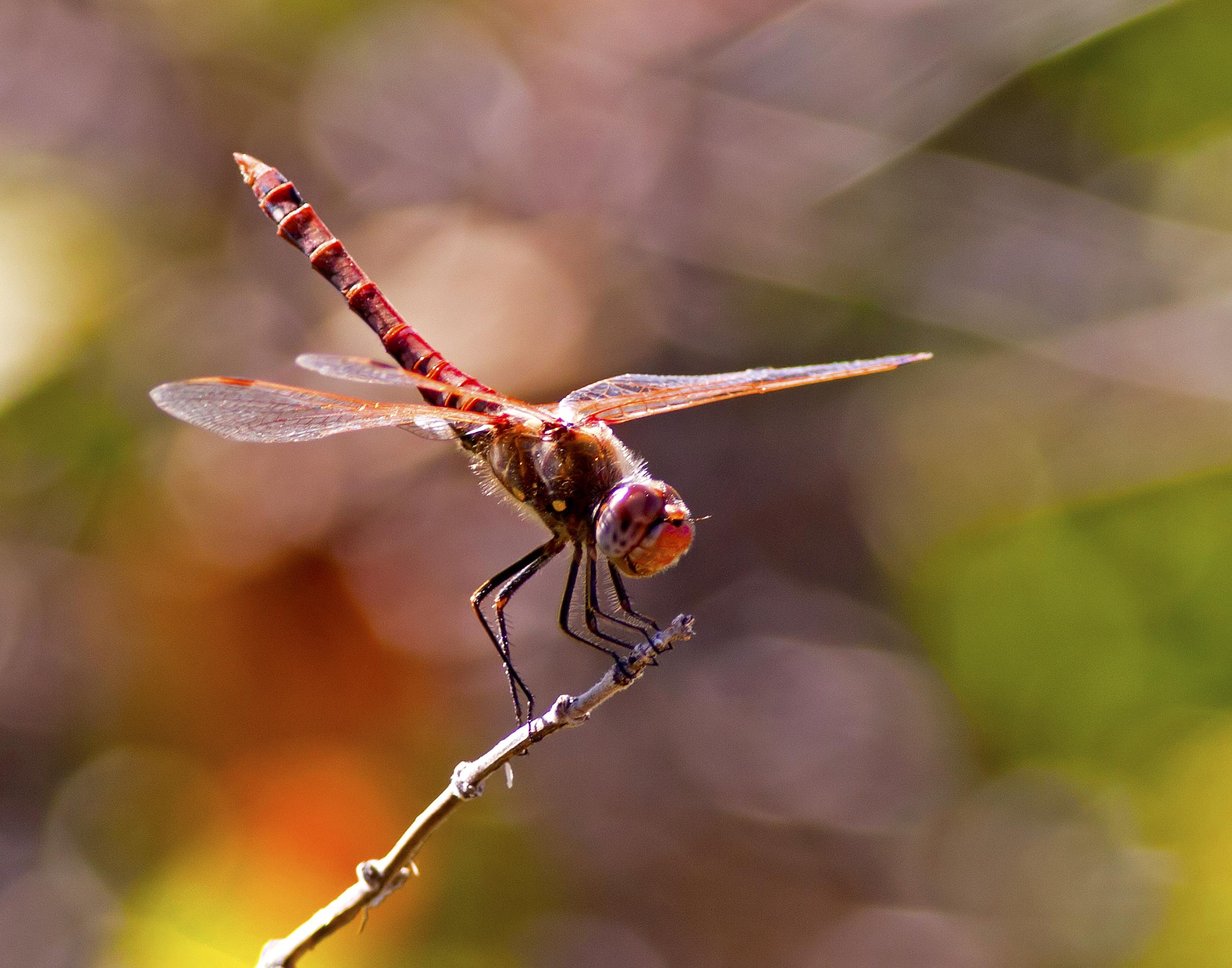 69 - Dragonfly