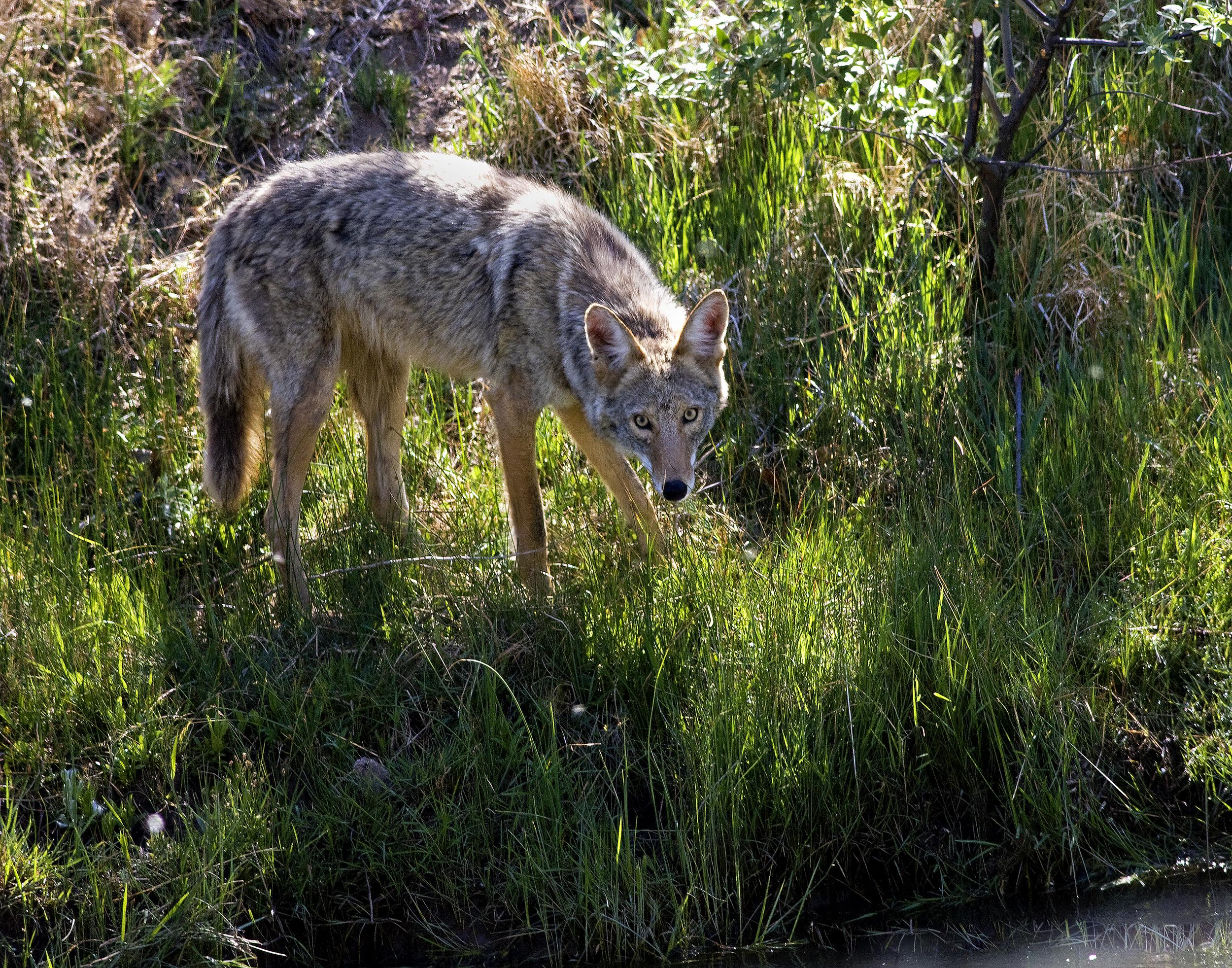 116 - Coyote