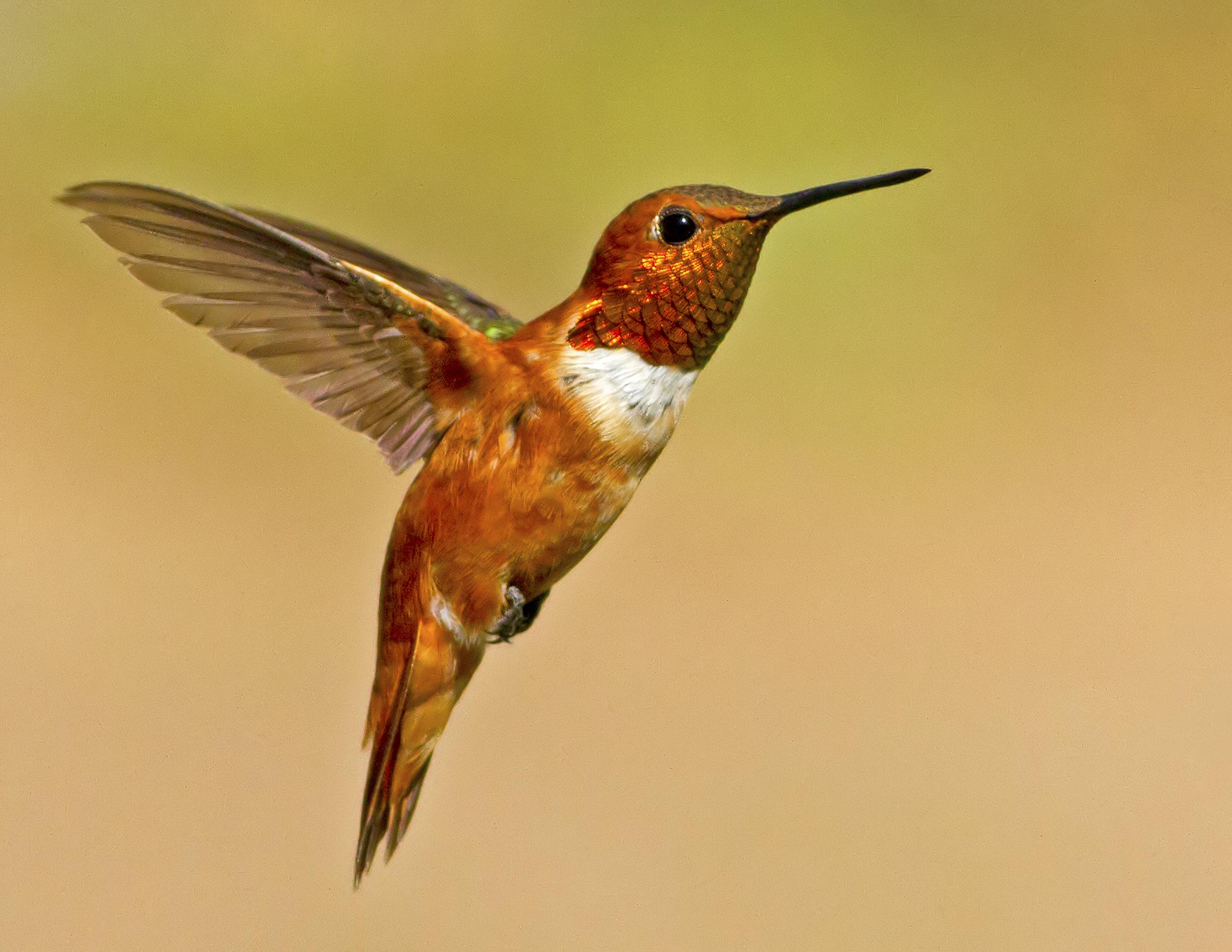 118 - Hummingbird