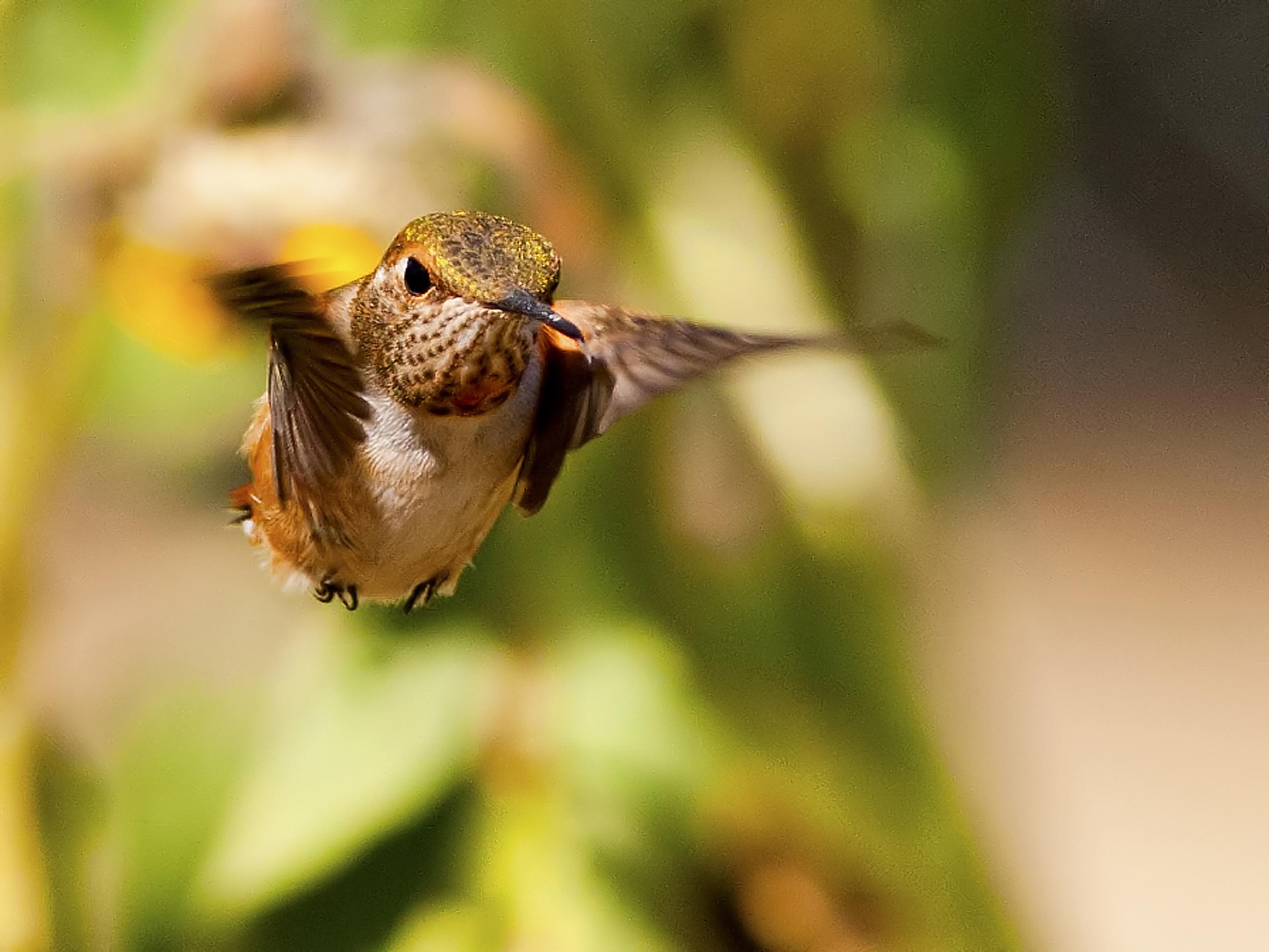 127 - Hummingbird