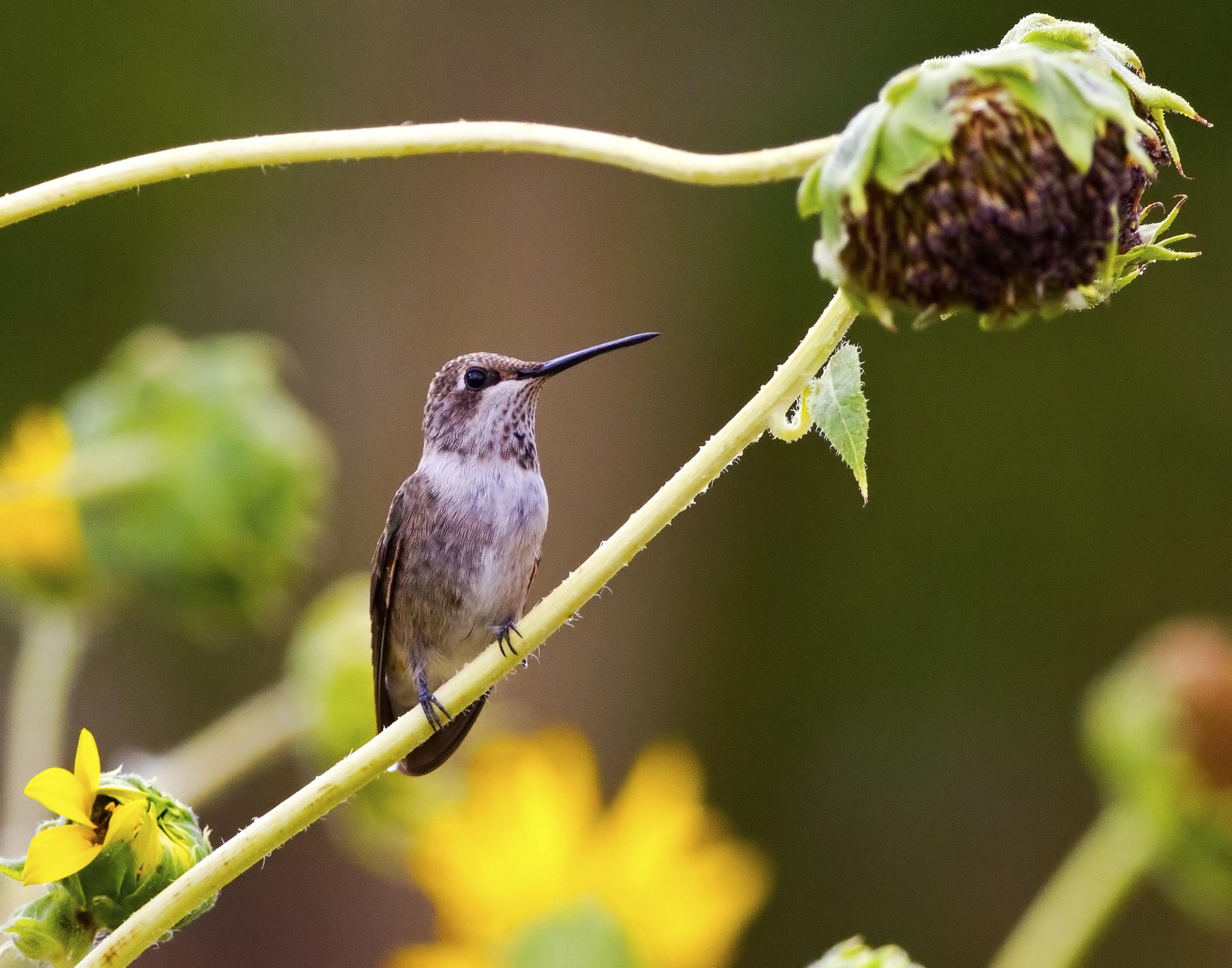 126 - Hummingbird