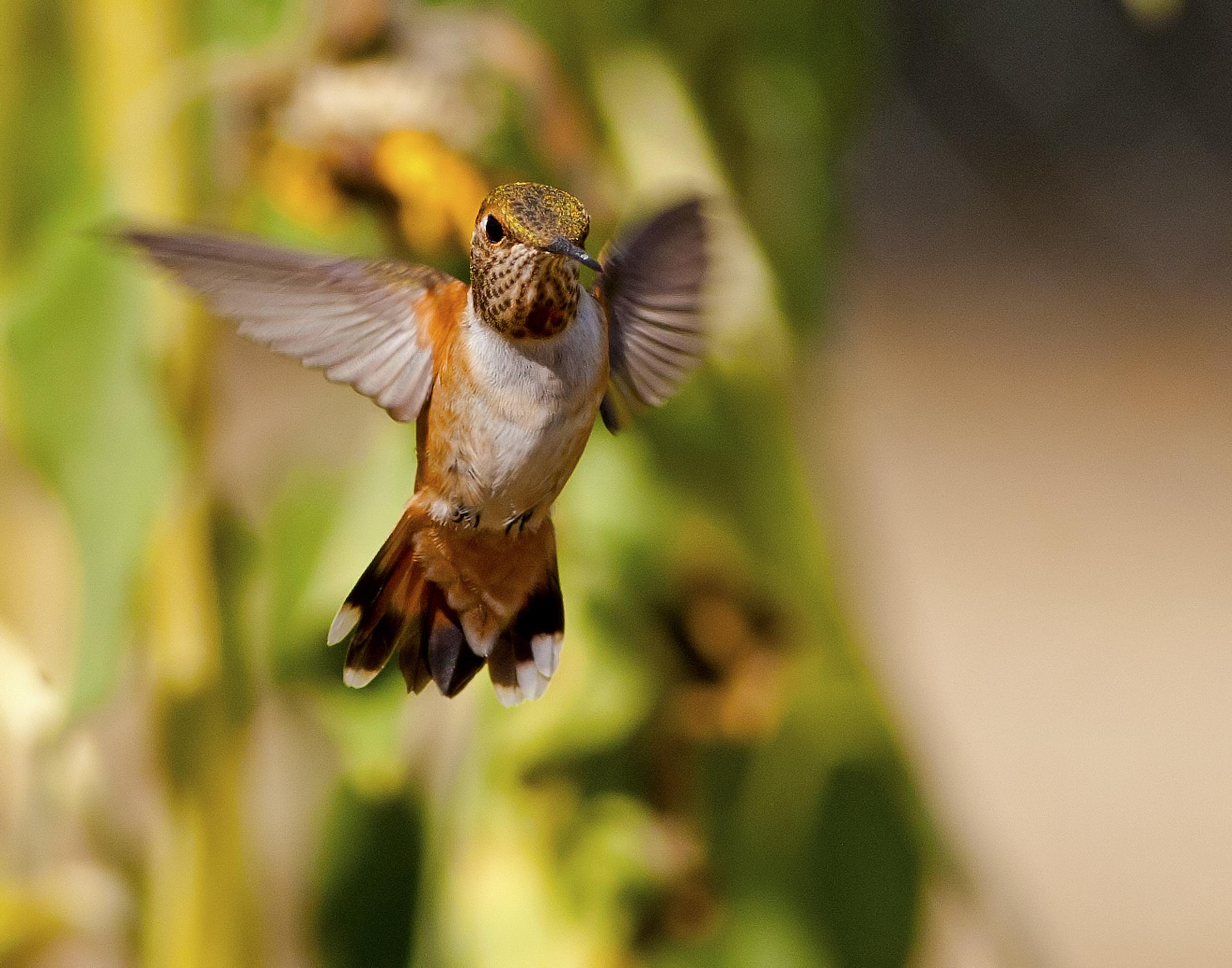 128 - Hummingbird