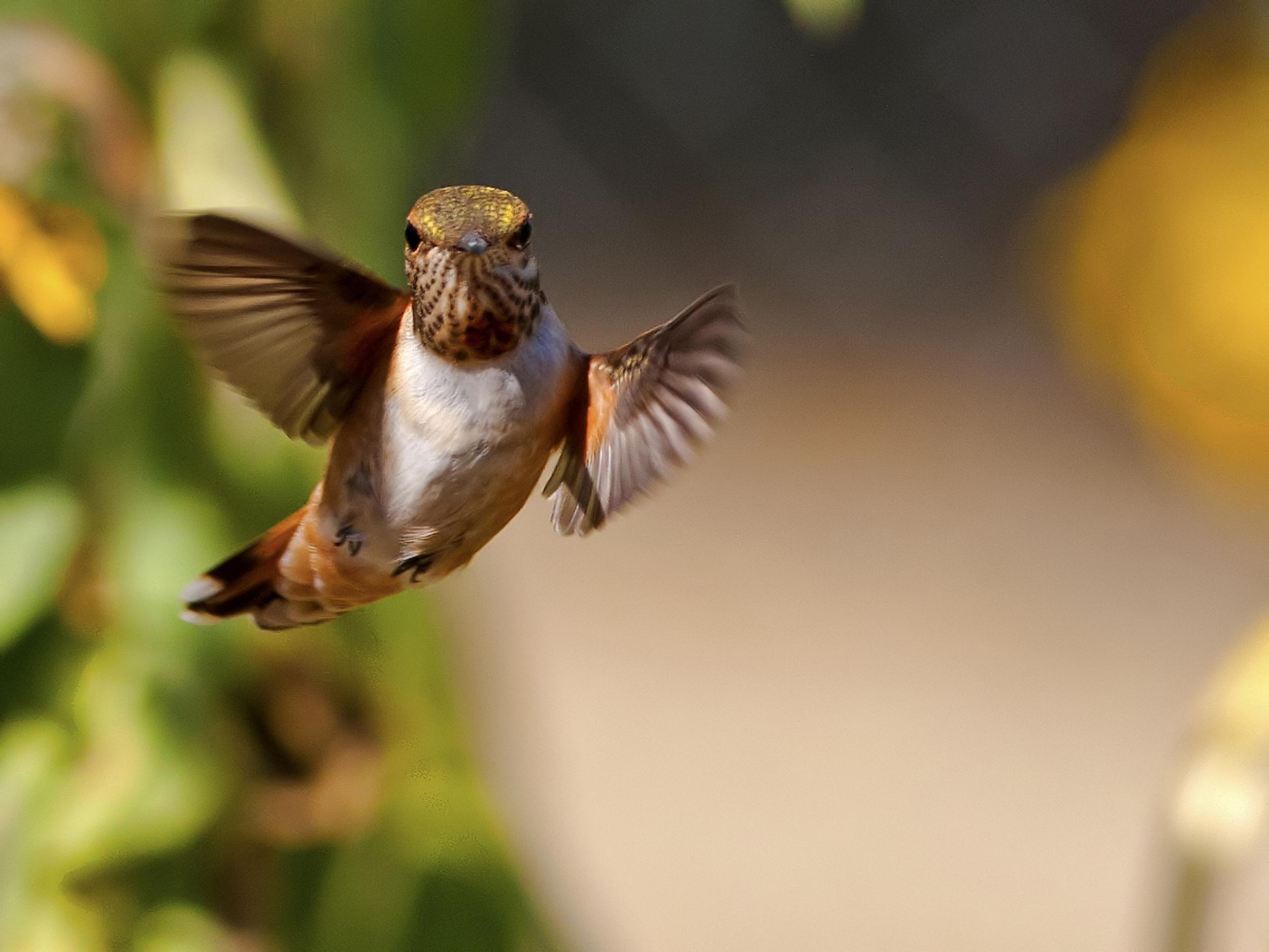 130 - Hummingbird