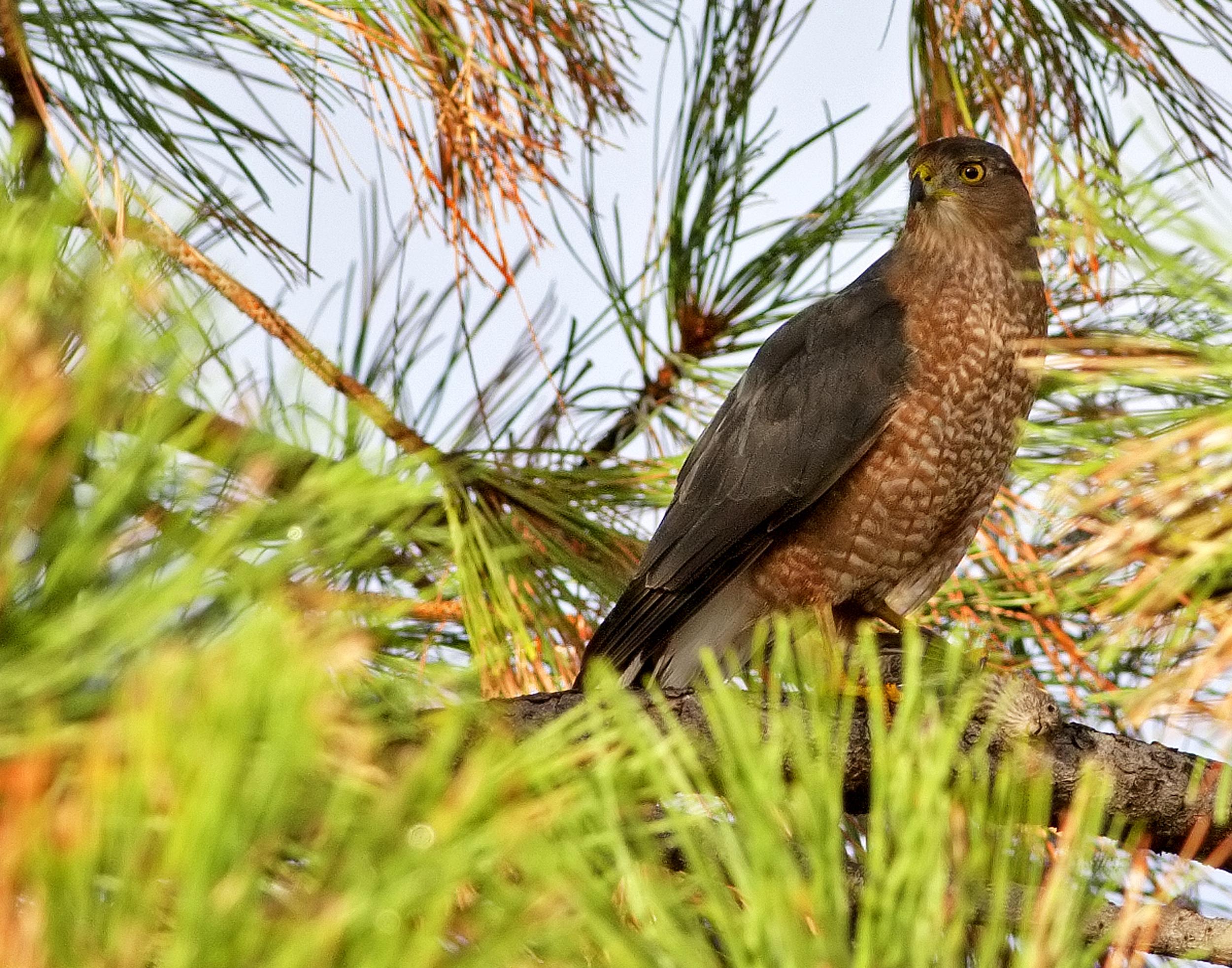 133 - Hummingbird