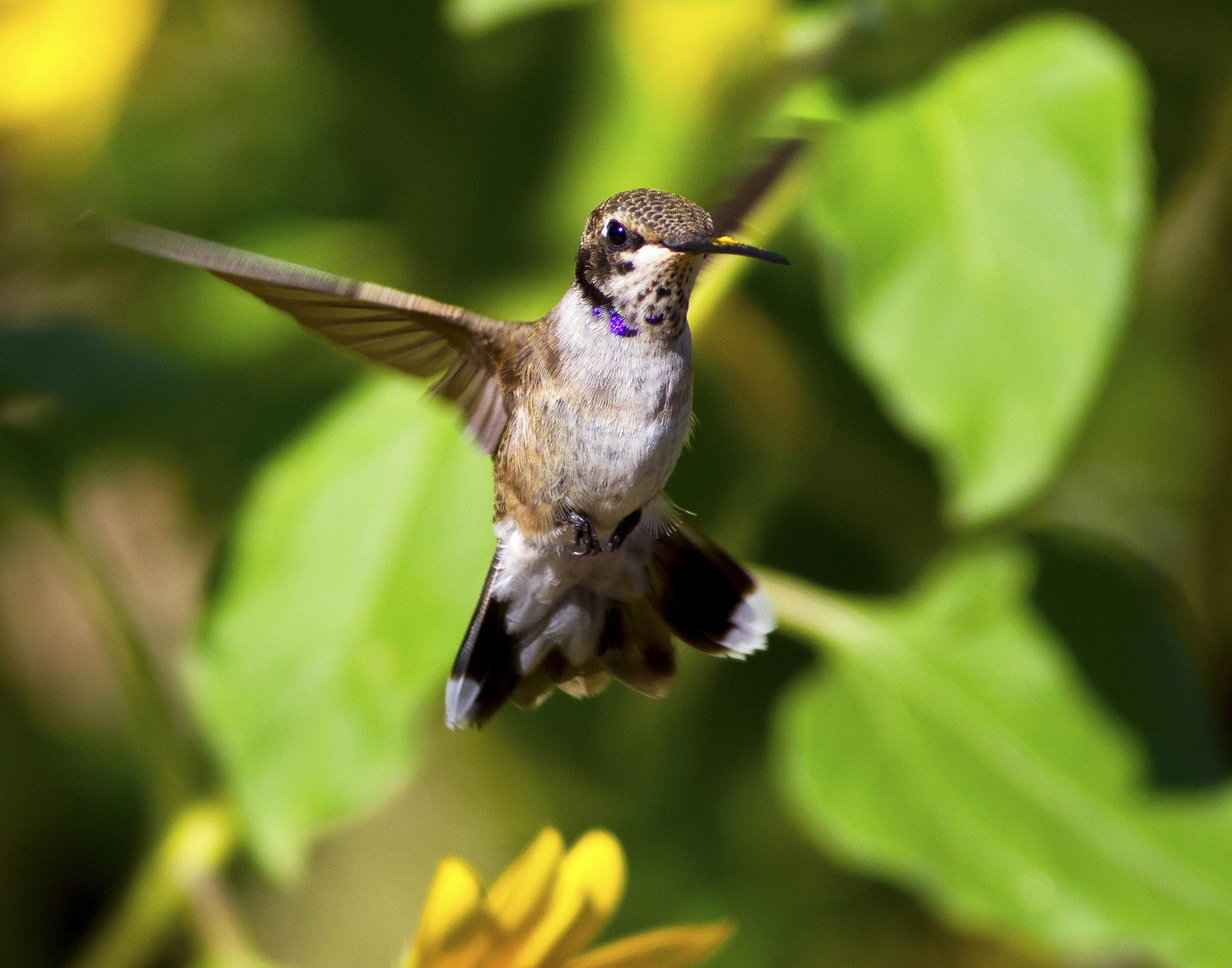 135 - Hummingbird