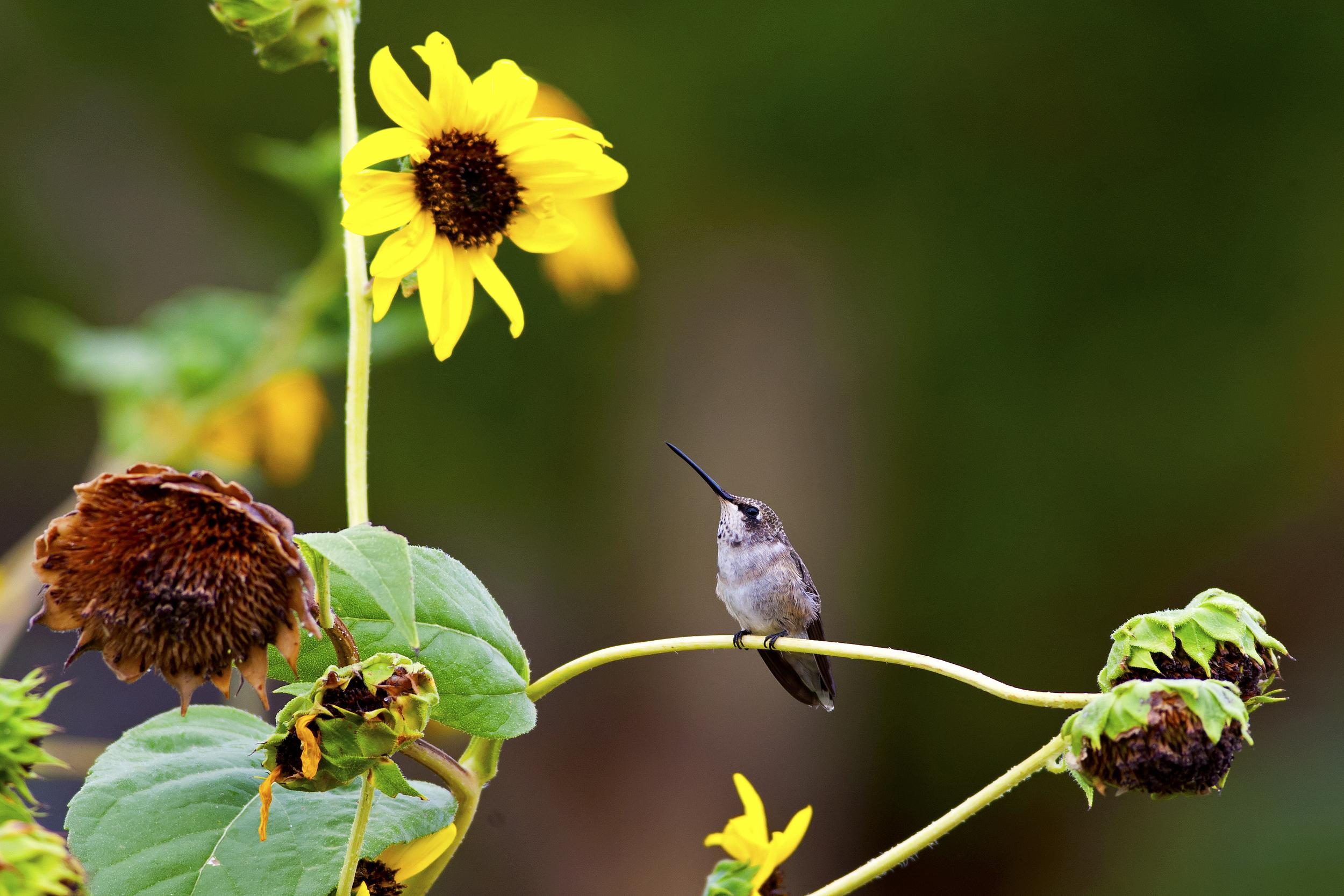 136 - Hummingbird