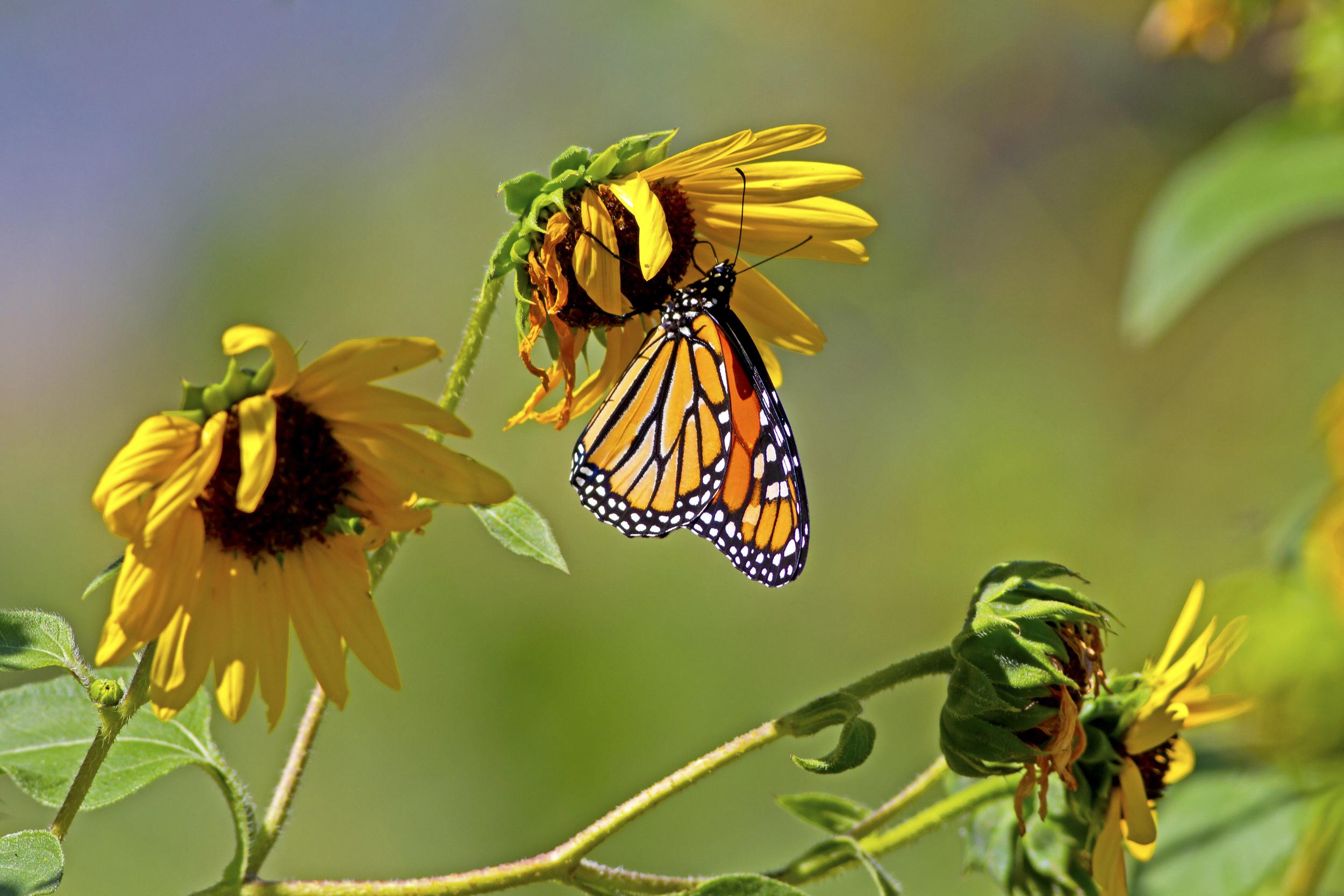 139 - Butterfly