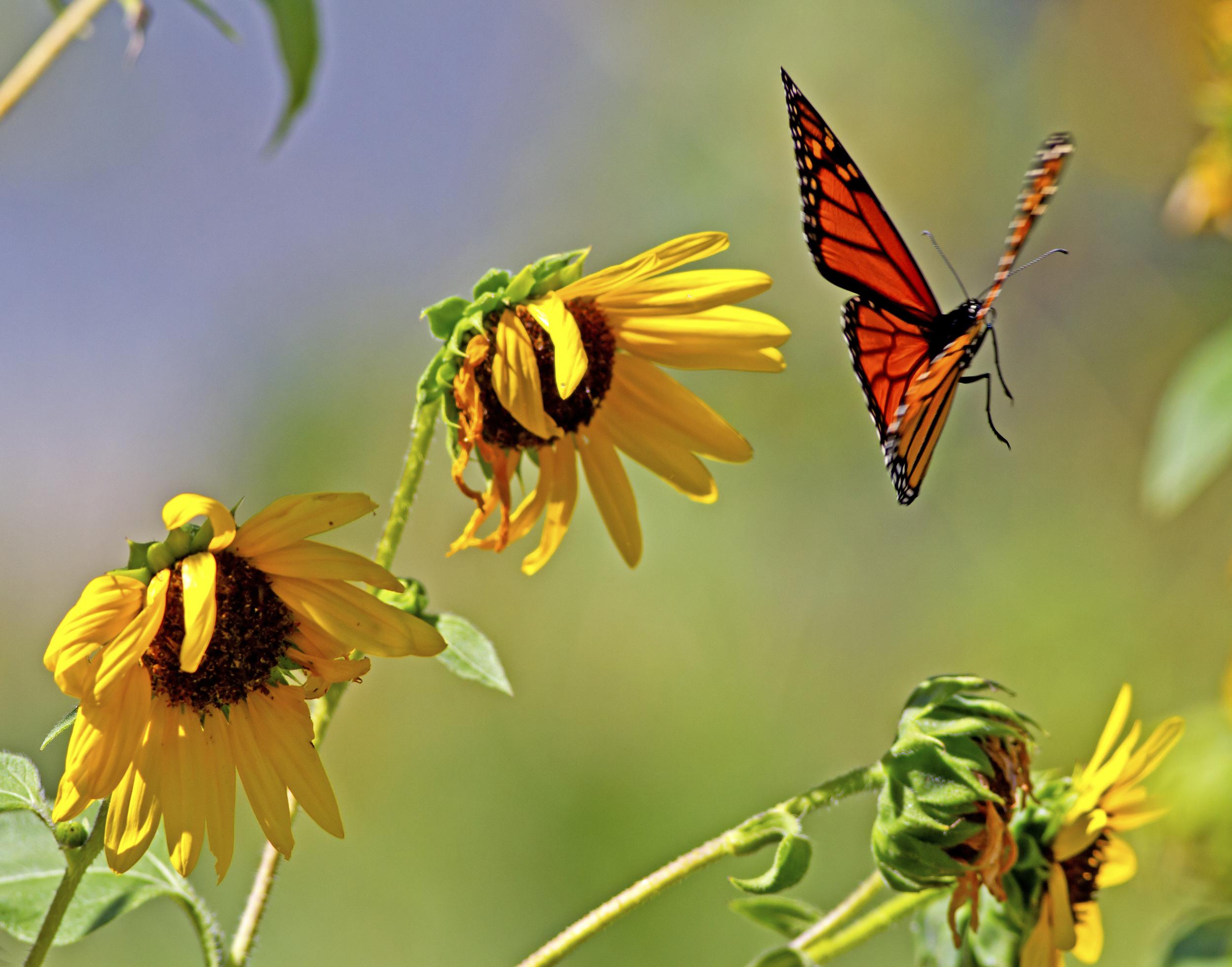 140 - Butterfly