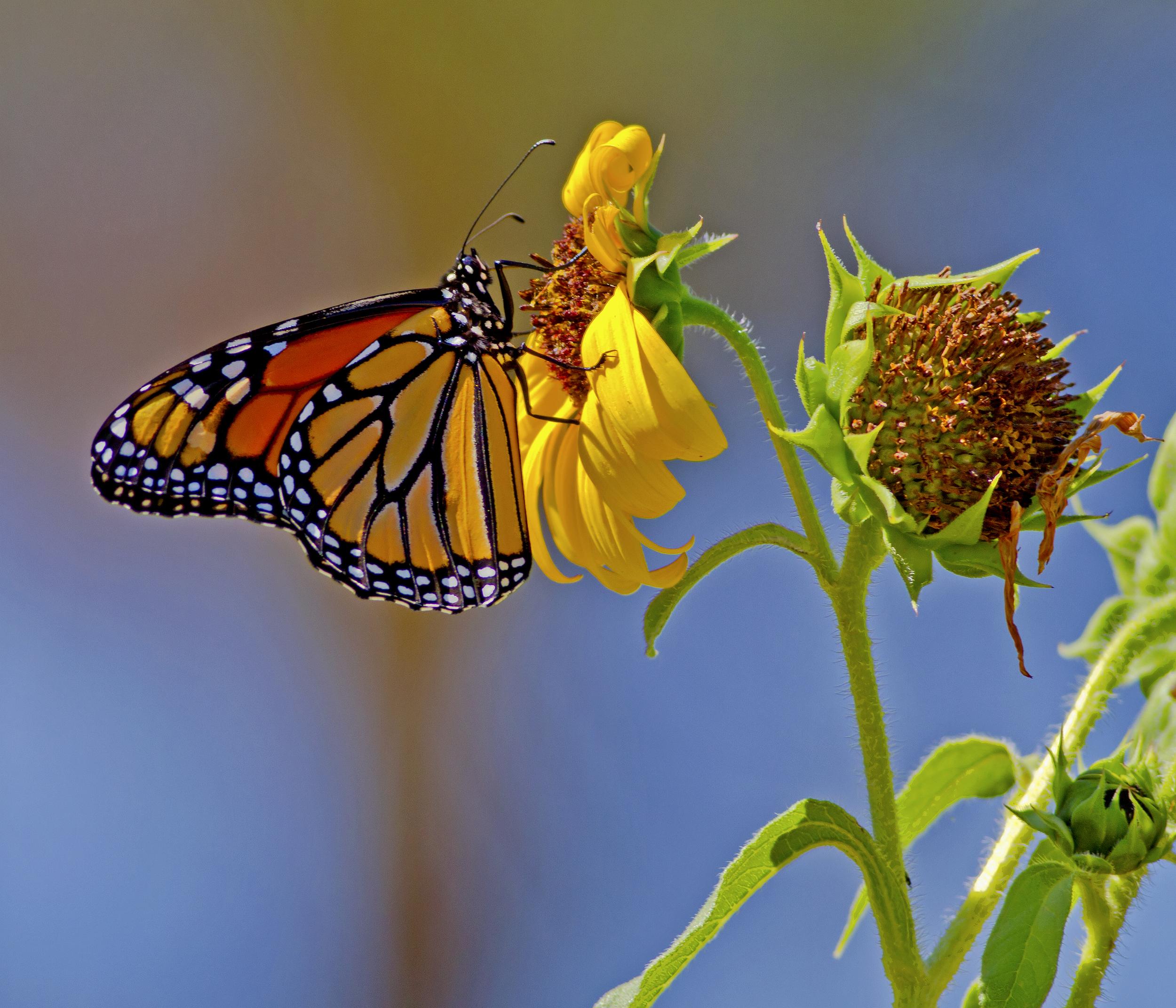 141 - Butterfly