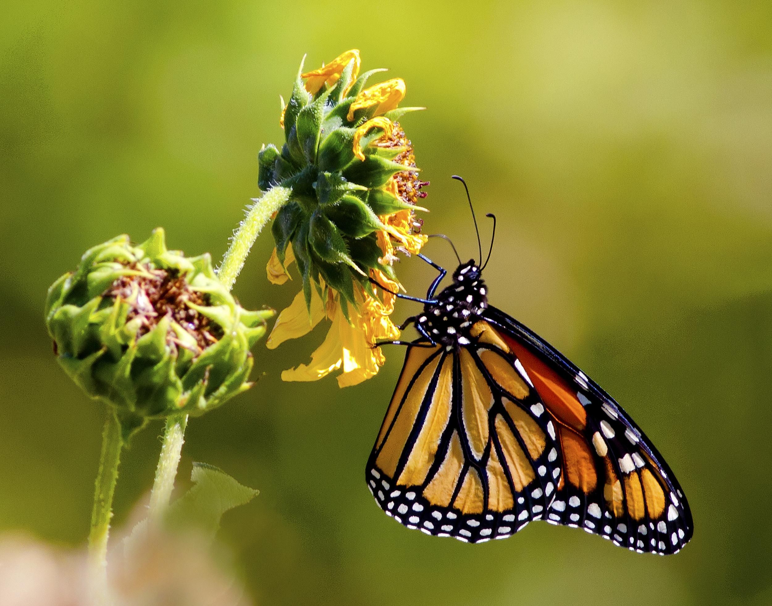 143 - Butterfly