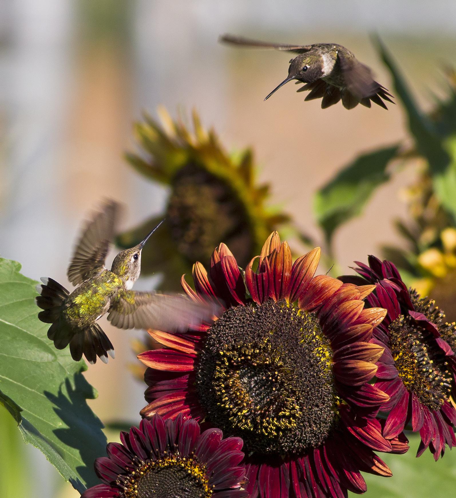 149 - Hummingbird