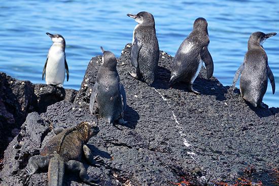 Galapagos Penguins at Elizabeth Bay, Isabela Photo © Stefan Tucker