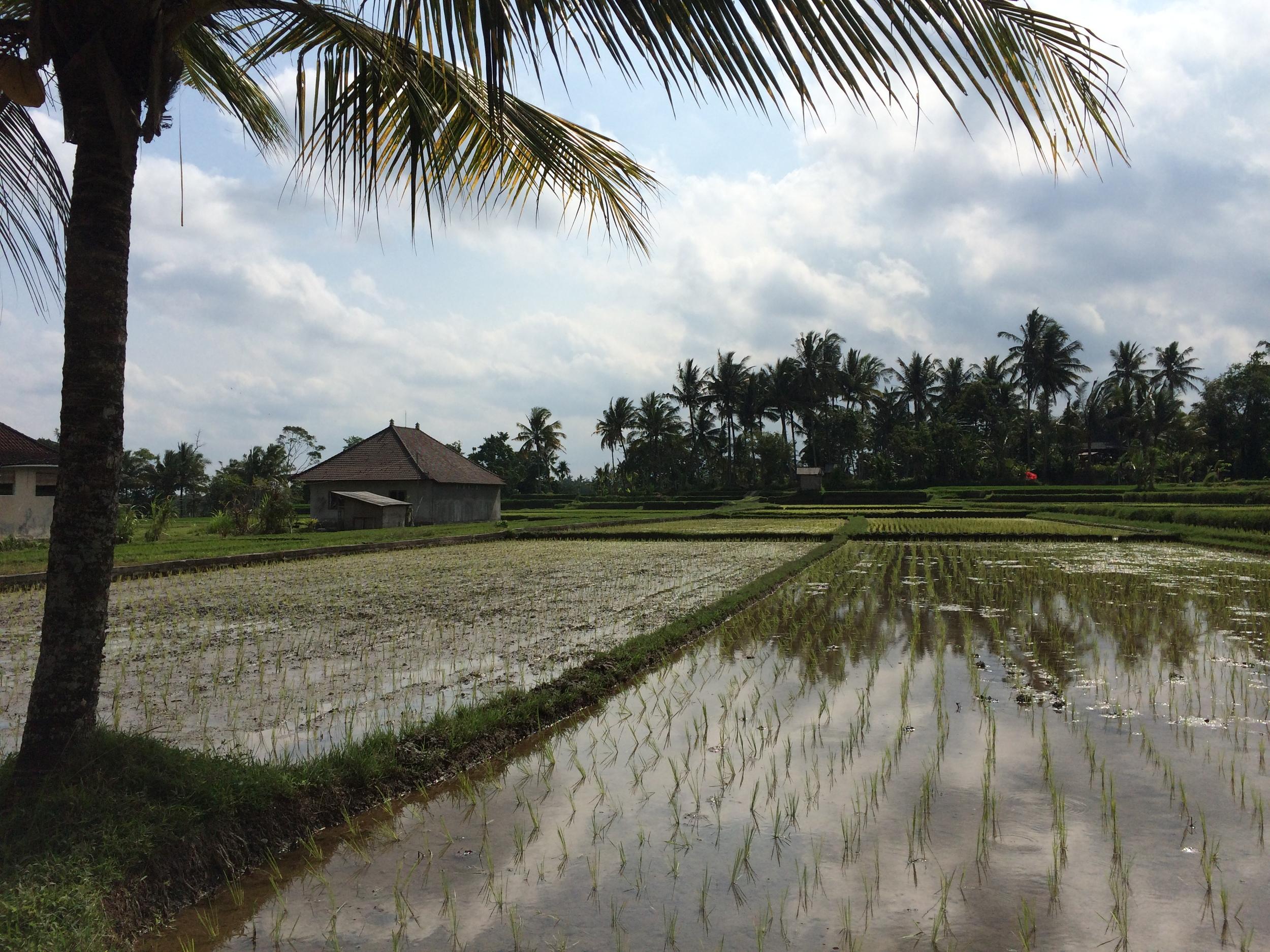 Rice Paddies in Ubud