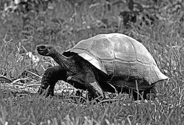 tortoise Galapagos.JPG