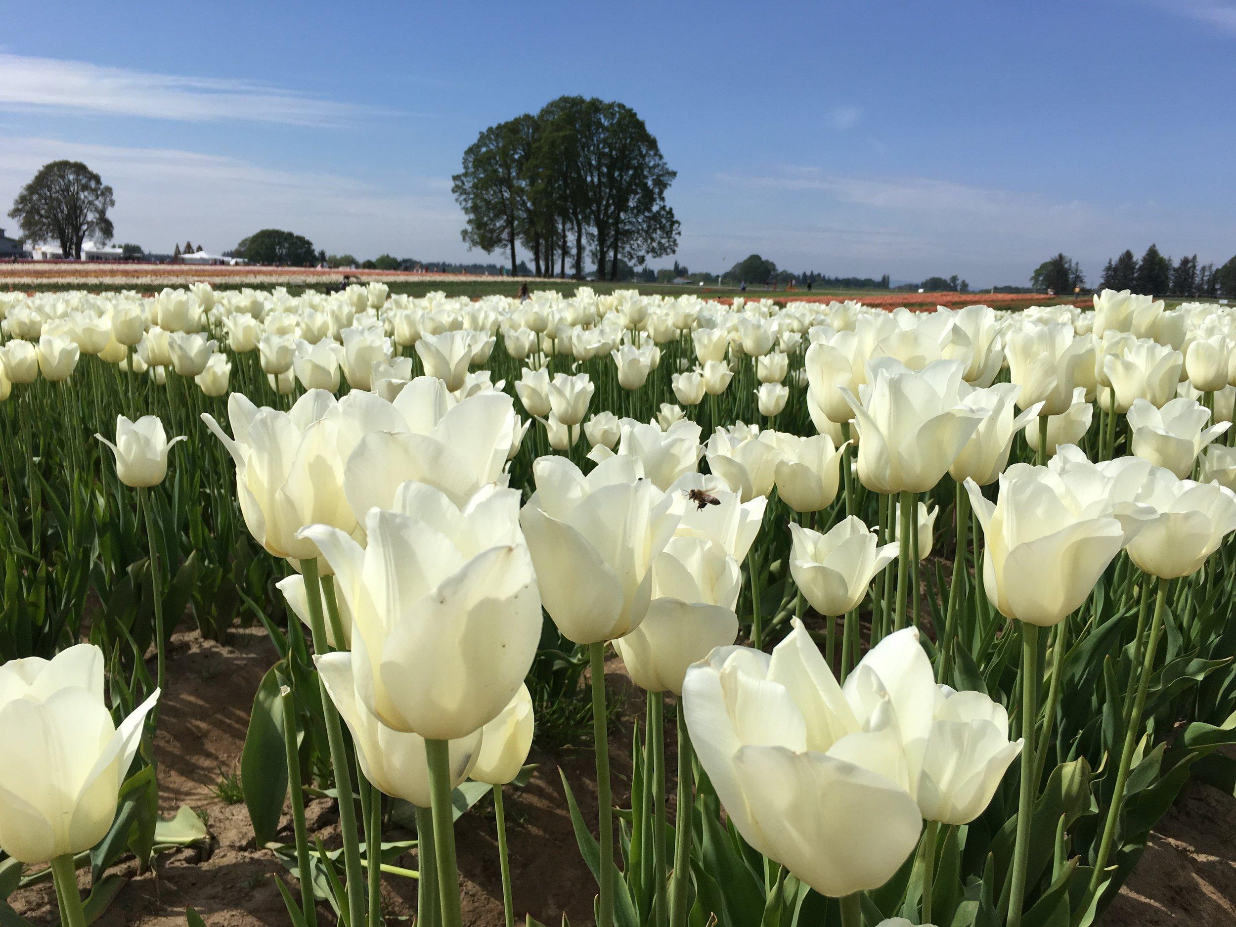 Tulip Farm 2.JPG