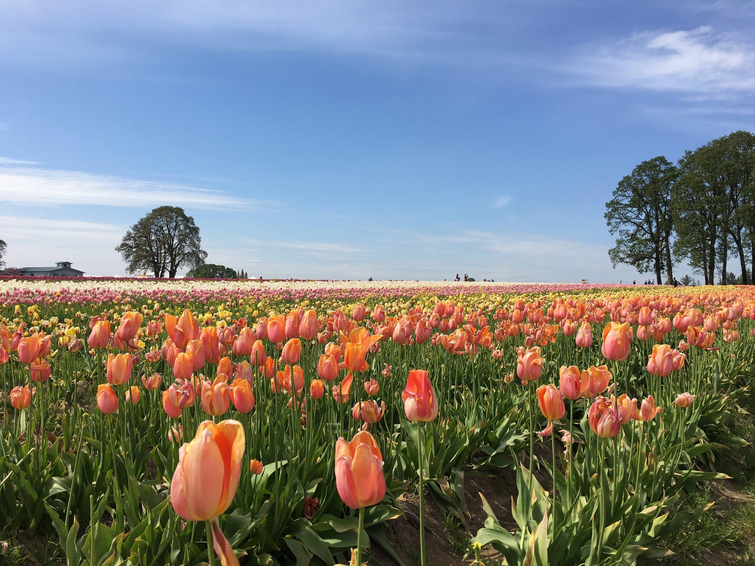 Tulip Farm 3.JPG