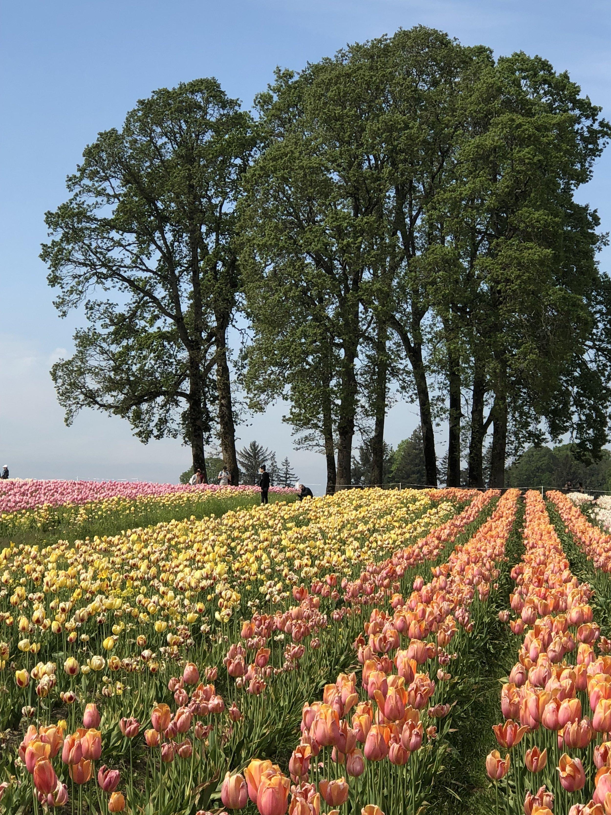 Tulip Farm 13.jpg
