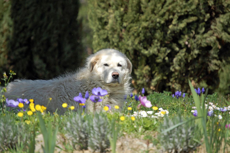 Photo of a Maremma dog, by  Monica Arellano-Ongpin