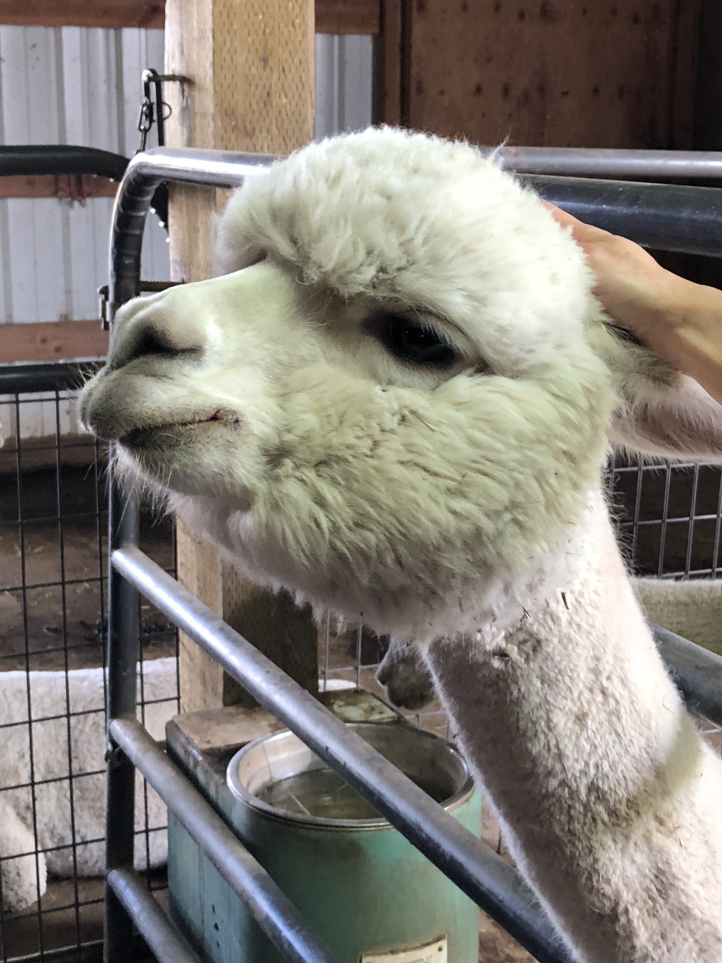alpacas 4.jpg