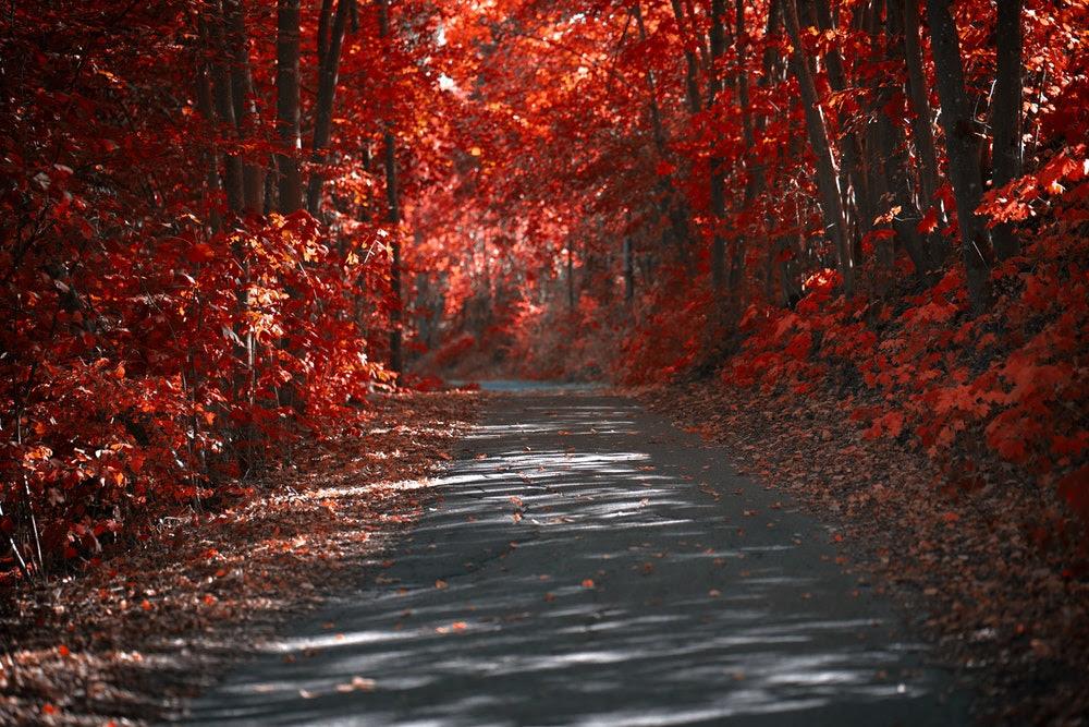 red autumn leaves path.jpg