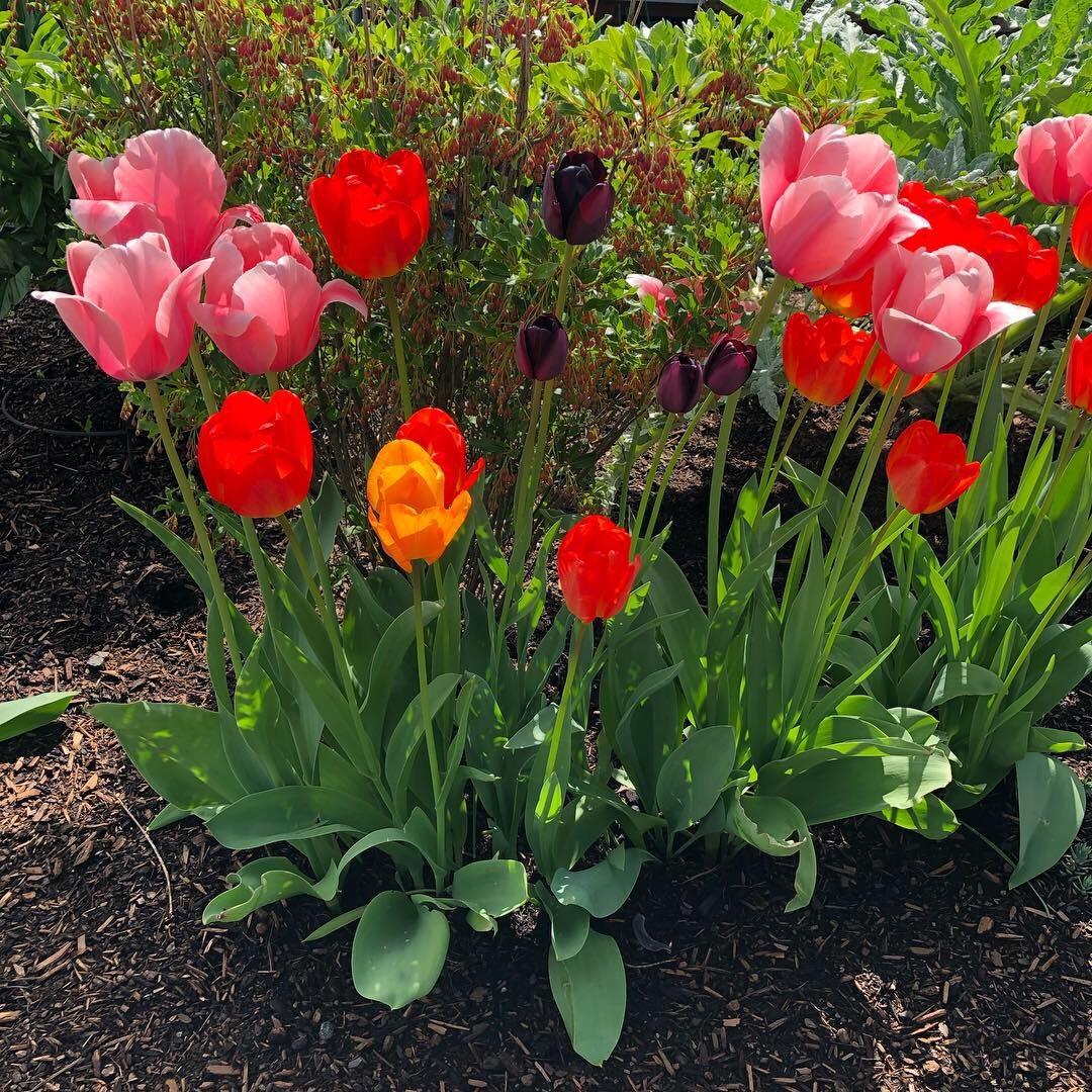 tulips 2.jpeg