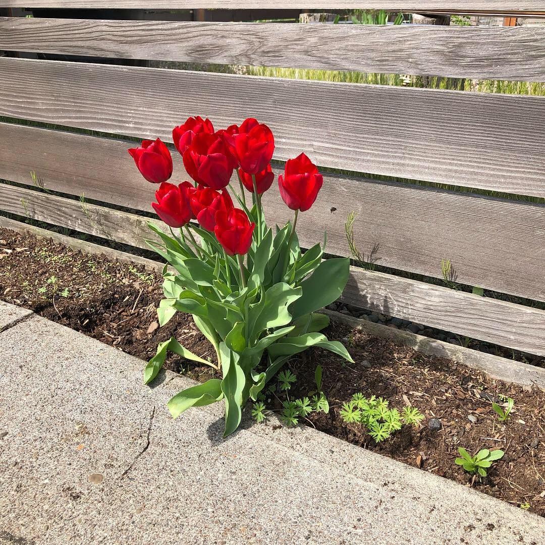 tulips 4.jpeg