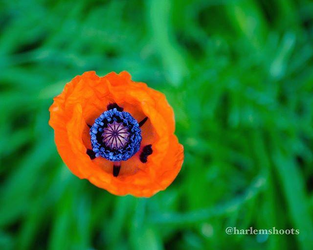 #poppy #greengrass #31 #365 #photoaday #photoadaychallenge #fullcolor #momsgarden #sonya7iii #canon2470mm #metabonesadapter