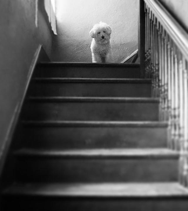 #Max #27 #365 #blackandwhitephotography #bnw #bnwphotography #photoadaychallenge #photoaday #photographybyharlem #everyharlemday #harlemshoots #bichapoo #stairwaytocuteness #puppy #dog