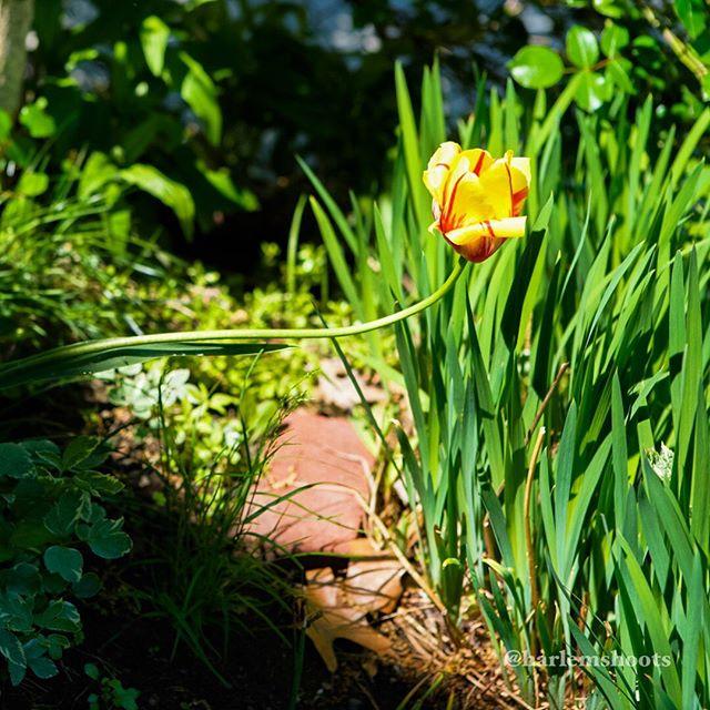 Finding the light. #26 #365 #everyharlemday #tulip #yellow #backyard #momsgarden #sonya7iii #canon2470mm #metabonesadapter #photoaday #photoadaychallenge #everyharlemday #harlemshoots #photographybyharlem