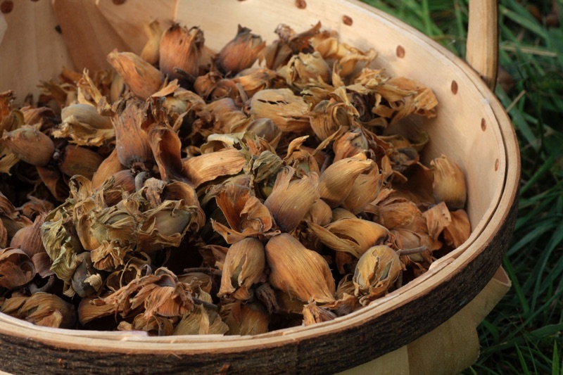 Cobnuts - an early Autumn treat