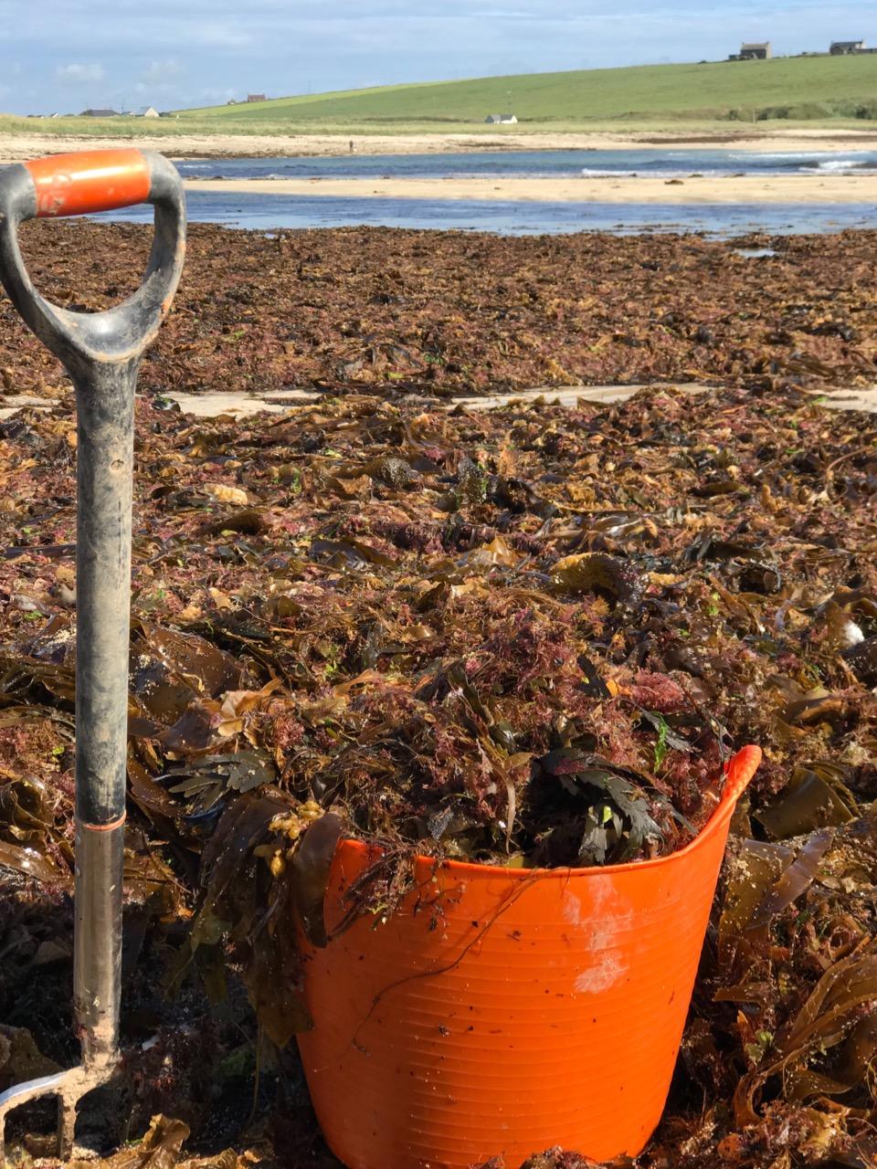 Seaweed collecting.jpg