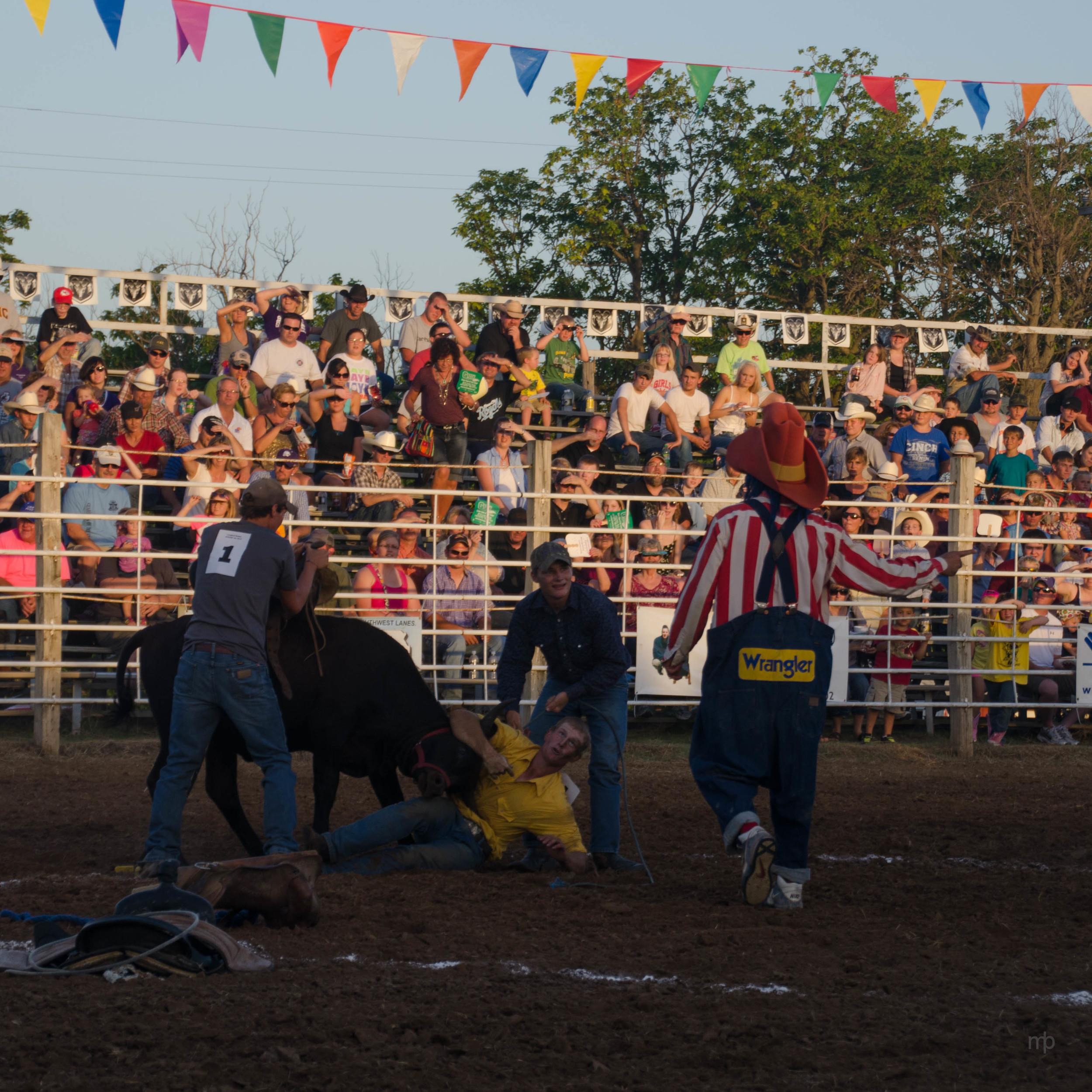Wild Steer Scramble. Longford Rodeo 2013