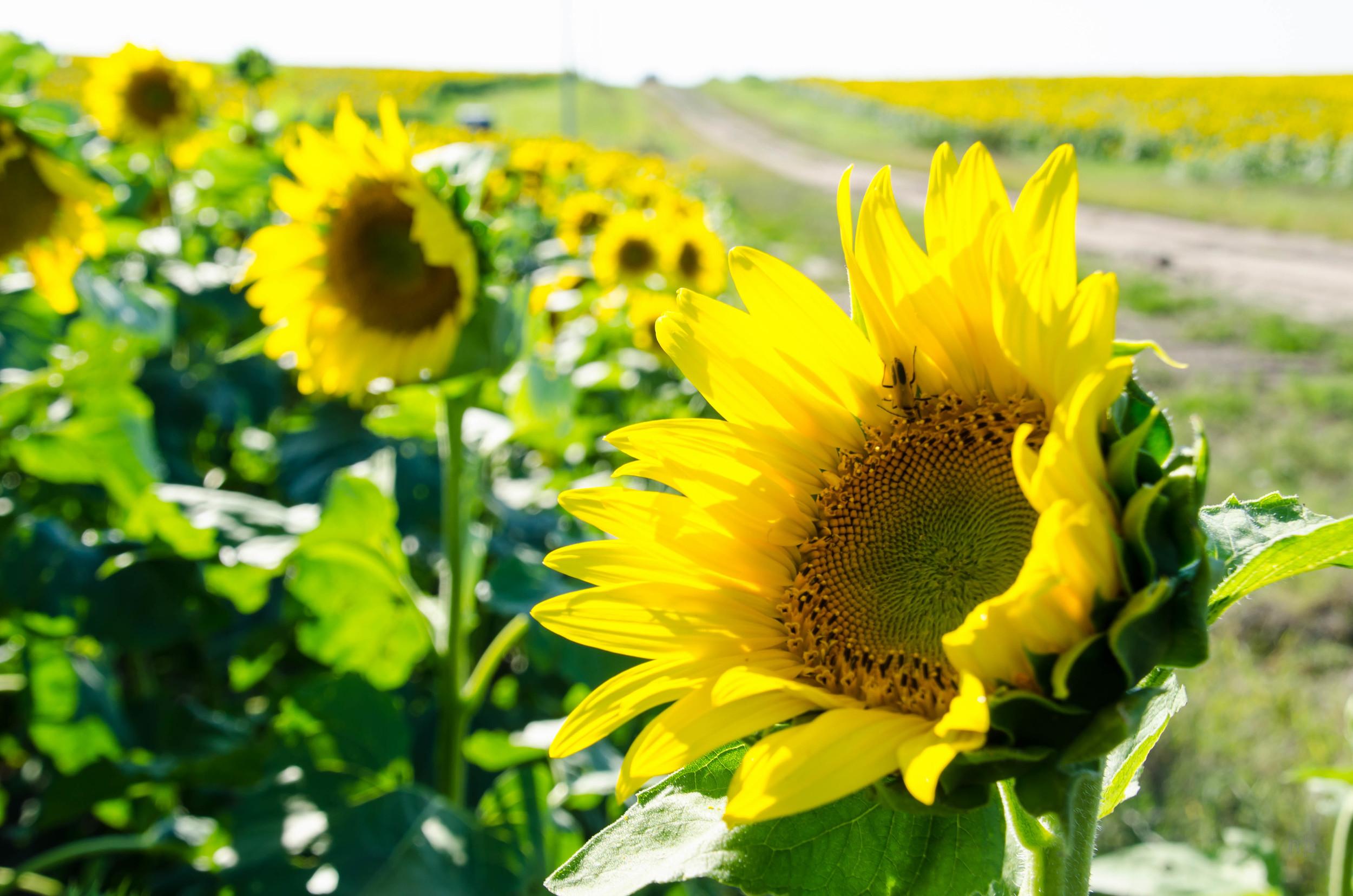 Sunflower Road. Washington Co, KS