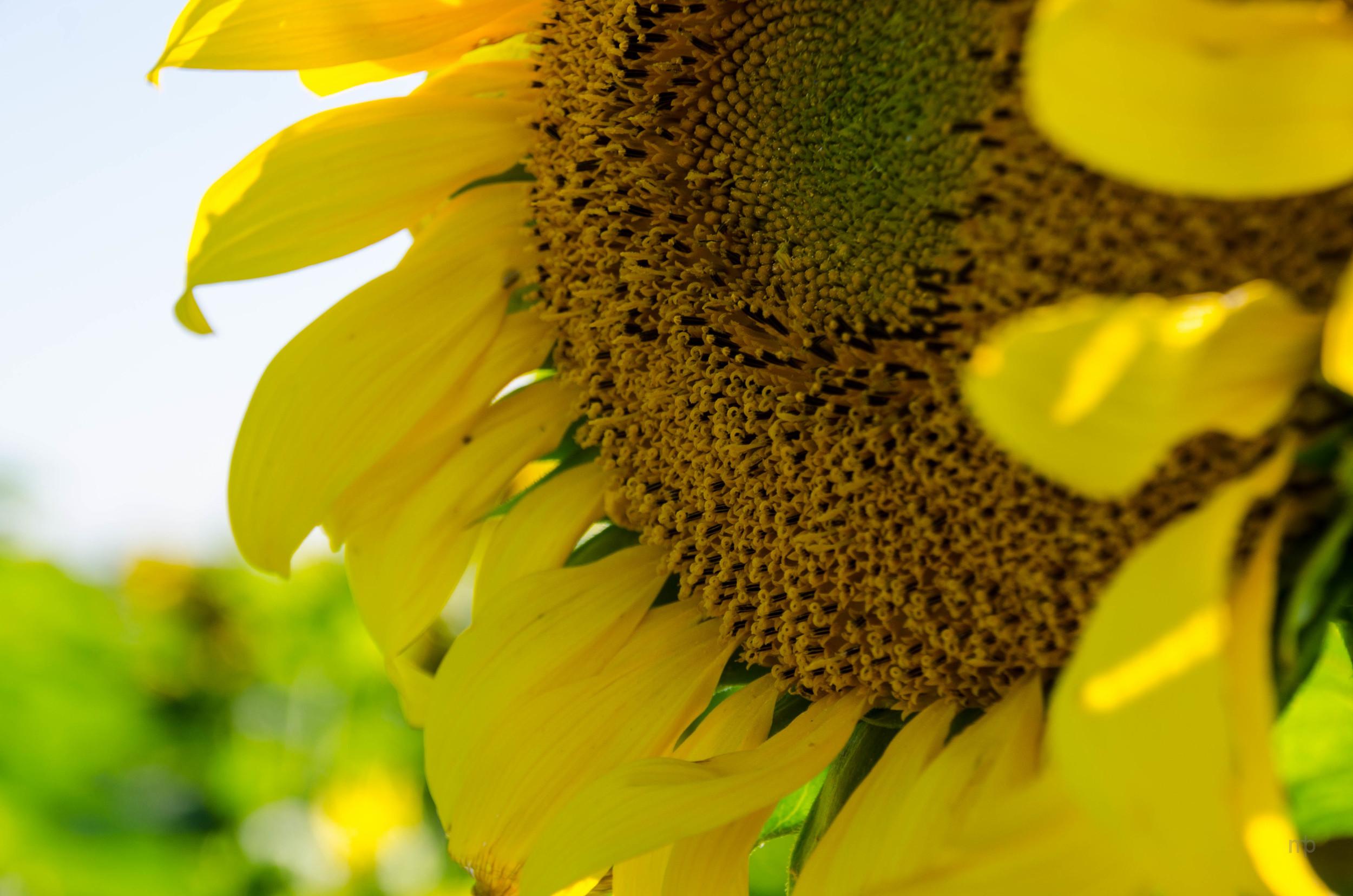 Sunflower. Washington Co, KS