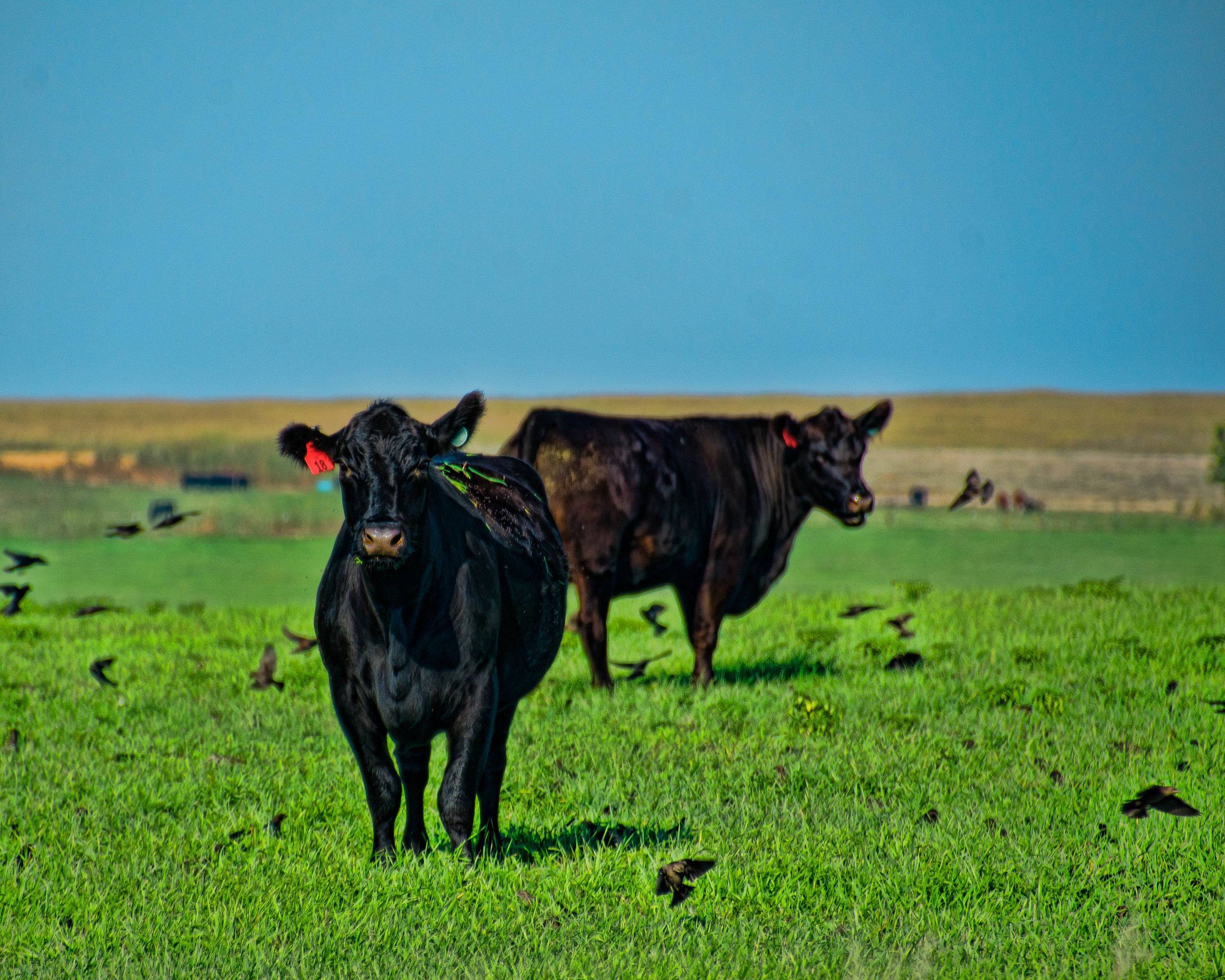 Cows and Crows. Edited in Fusion Express 2 and LR5.