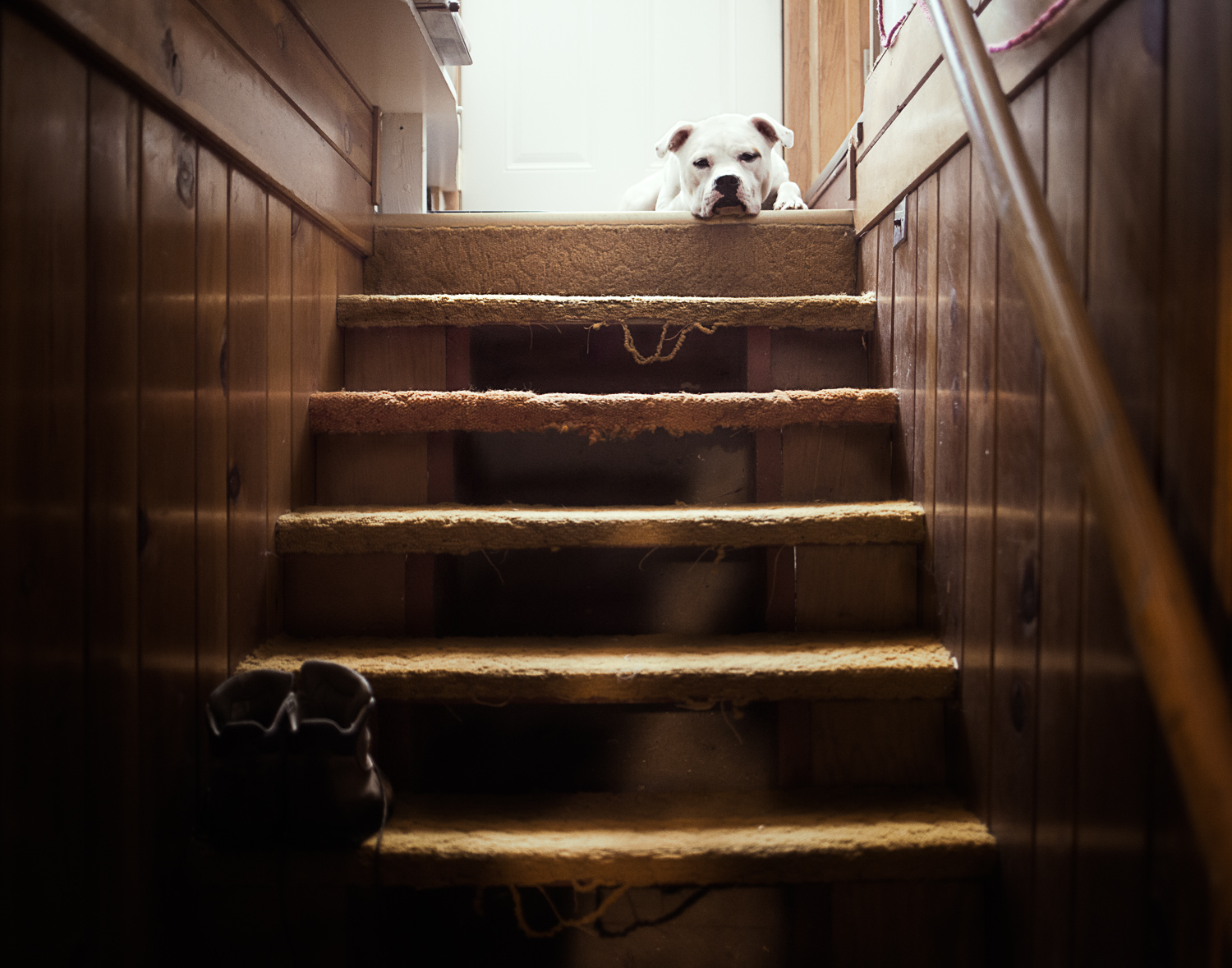 bull dog sitting at the top of stairs