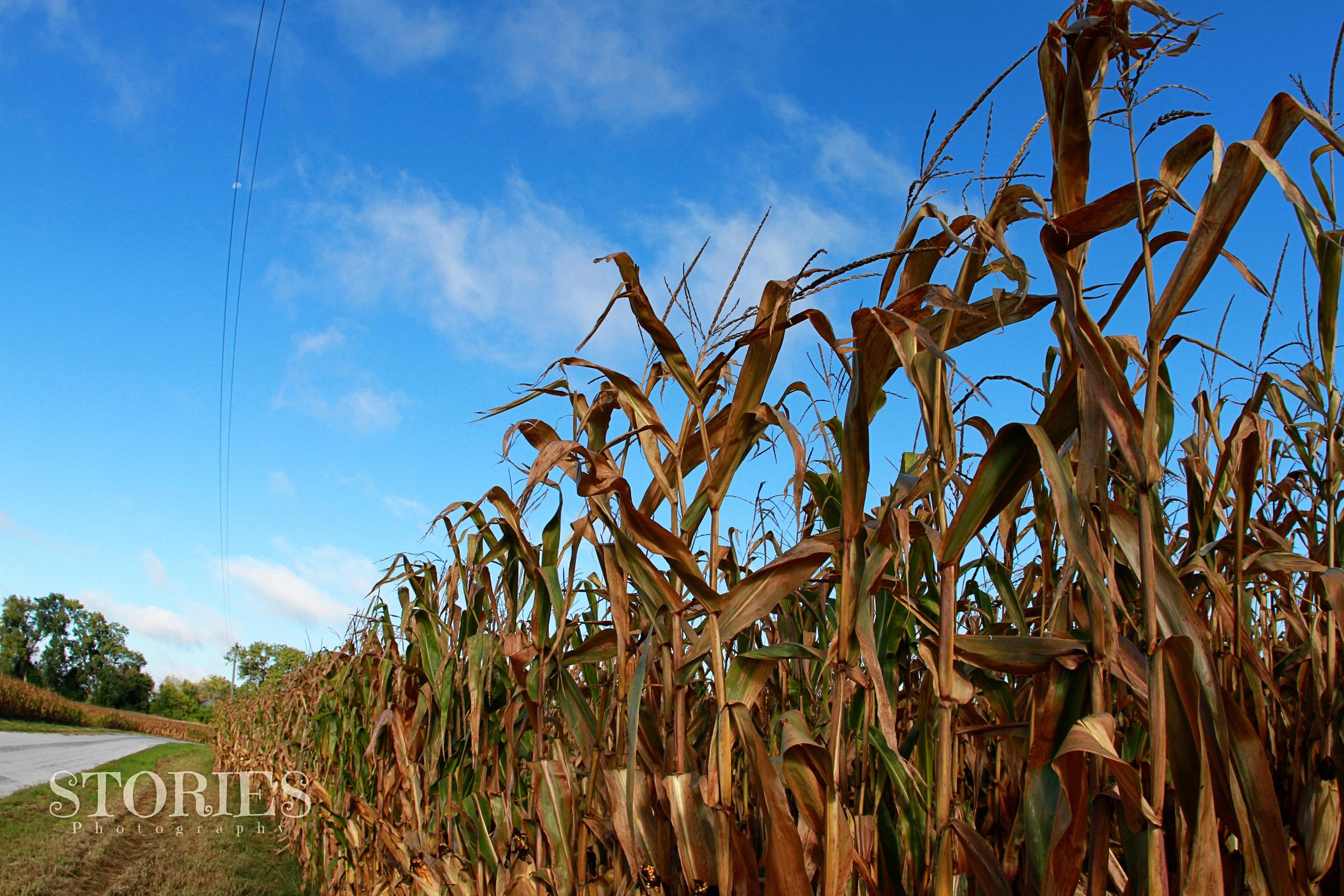 Remington Ride corn fields
