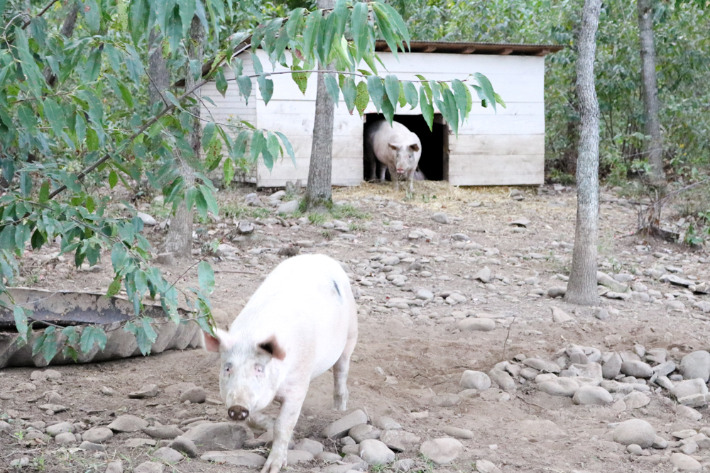 Pigs Heaven