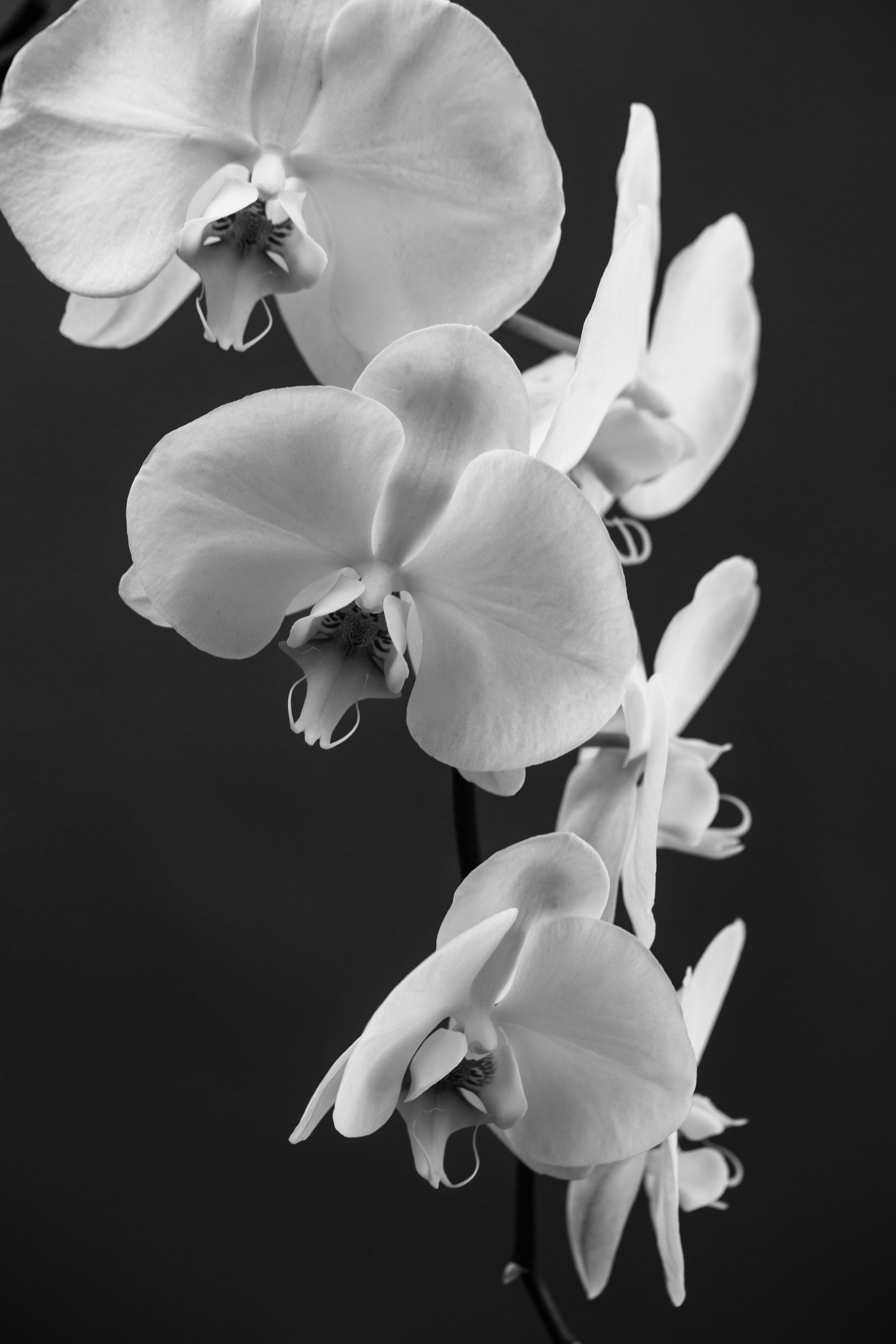 orchidbw_2.jpg