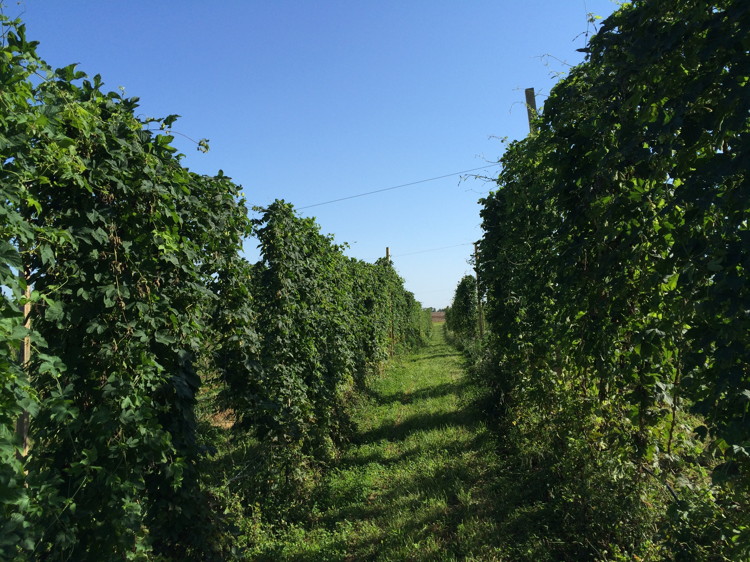 Royal Hops yard on June 20, 2015