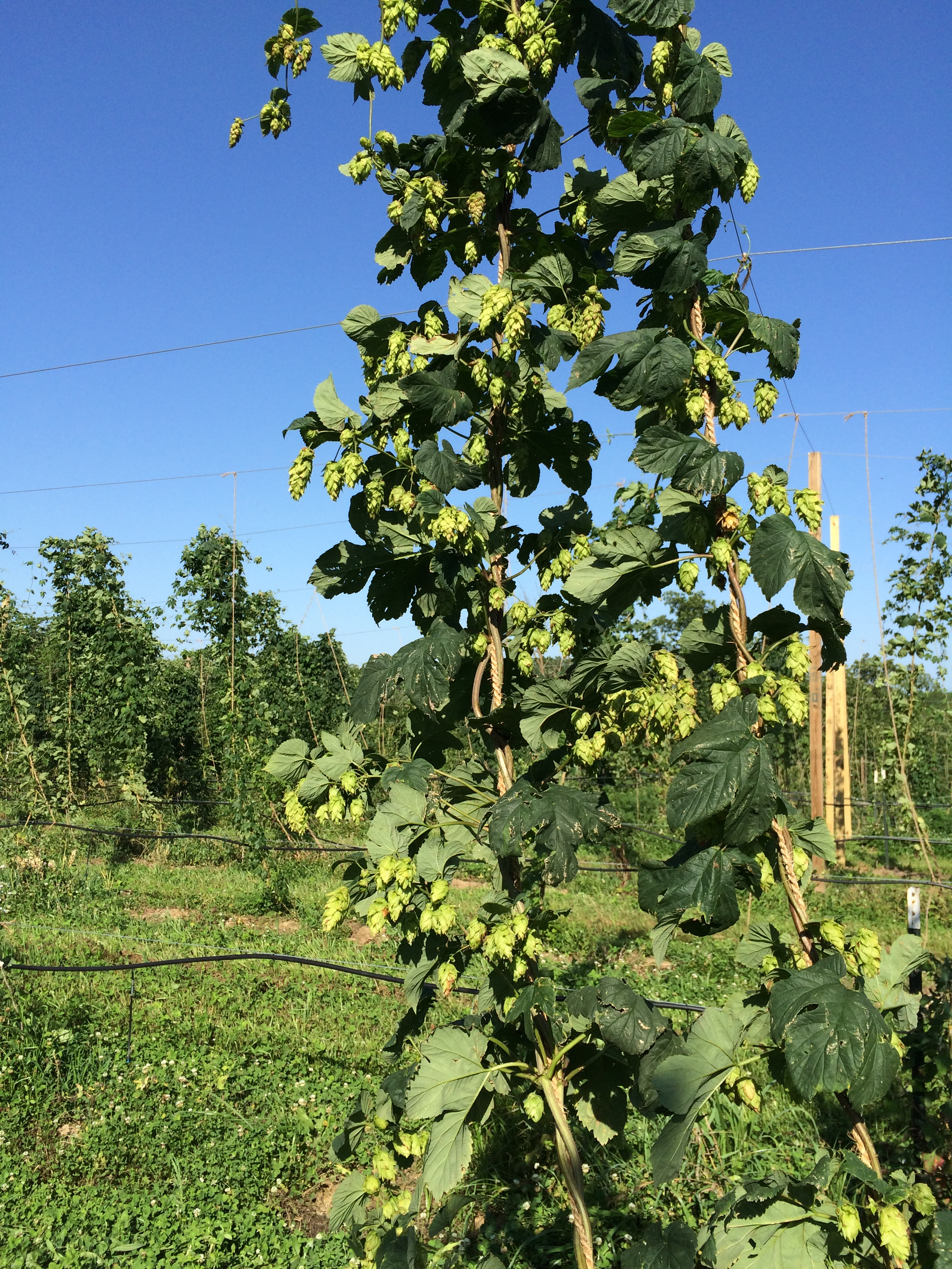 Royal Hops yard, June 20, 2015