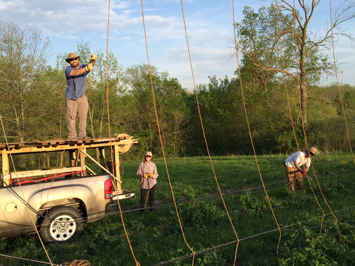 The gangs busy stringing grow-lines May, 2015